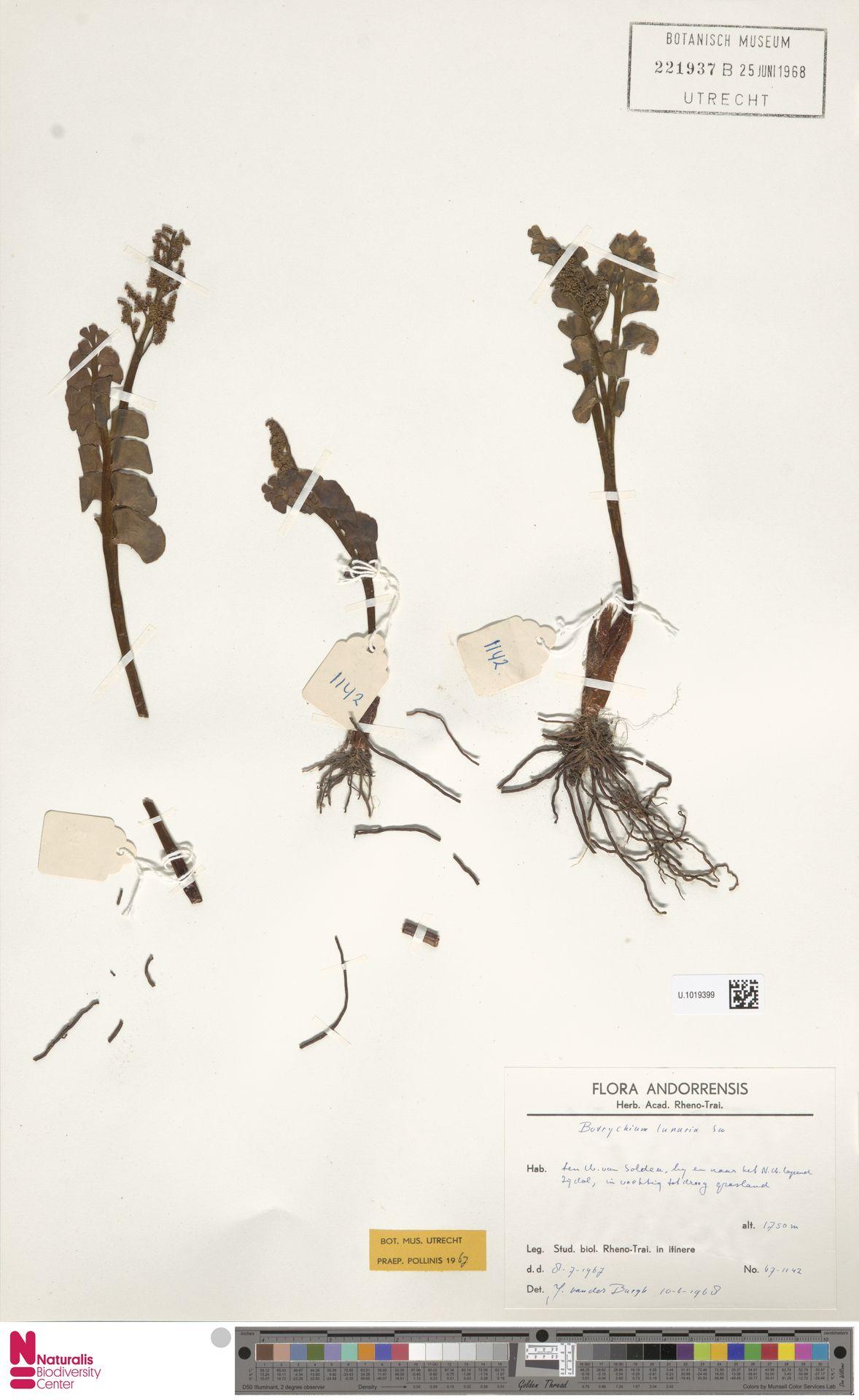U.1019399 | Botrychium lunaria (L.) Sw.