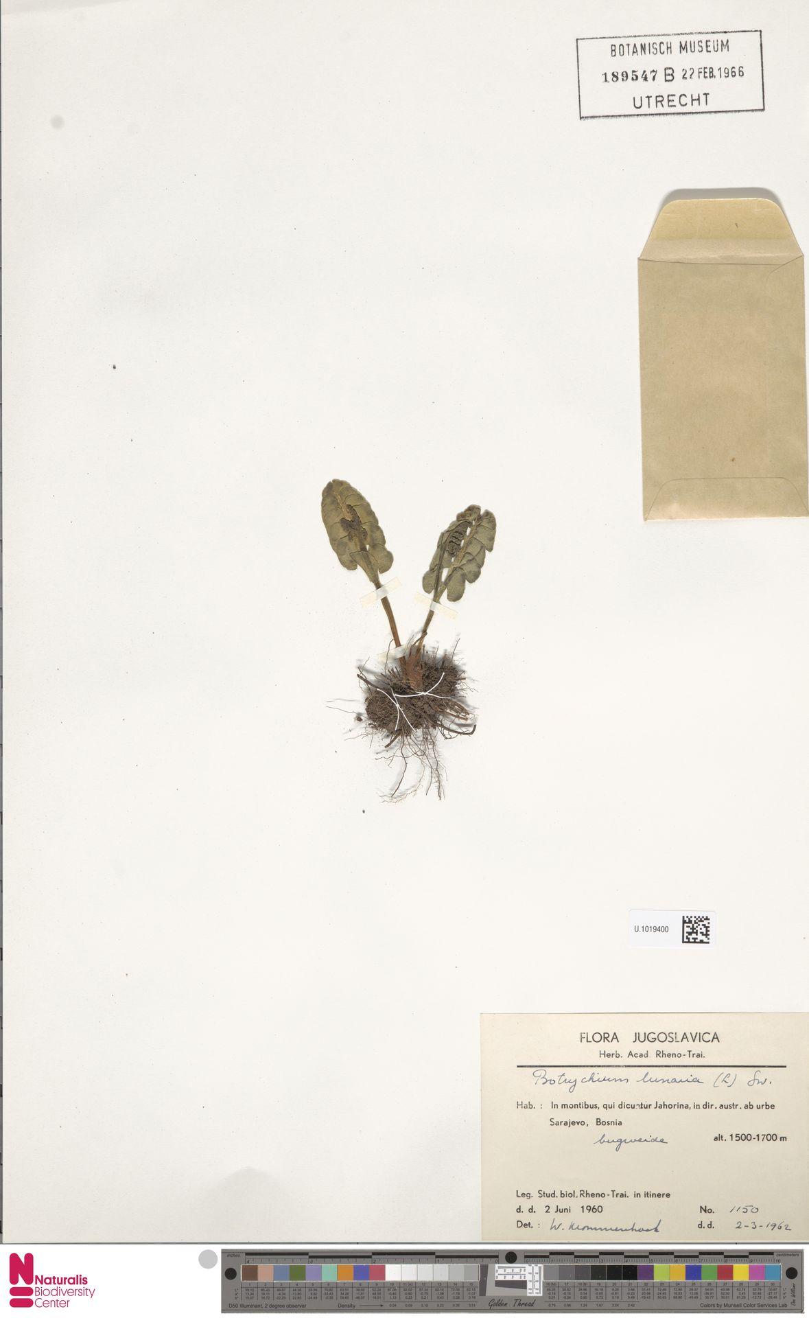U.1019400 | Botrychium lunaria (L.) Sw.