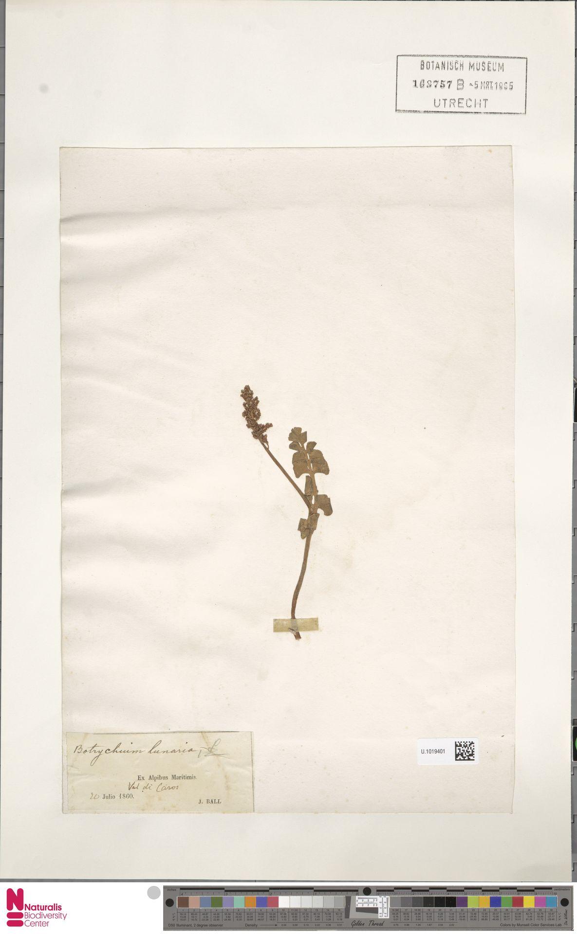 U.1019401 | Botrychium lunaria (L.) Sw.