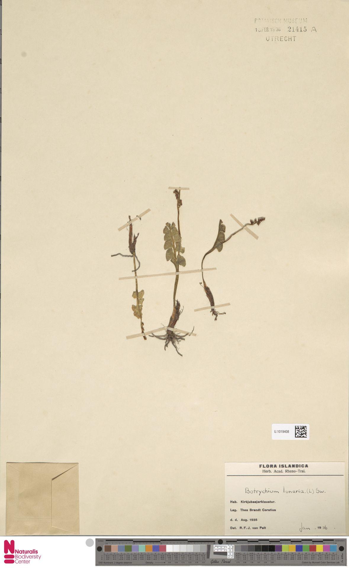 U.1019408 | Botrychium lunaria (L.) Sw.