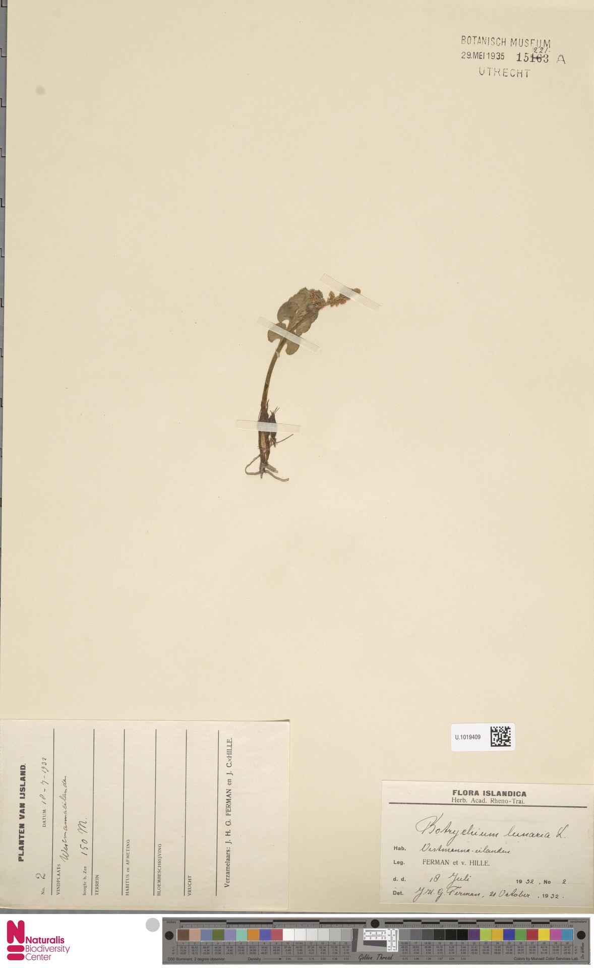 U.1019409 | Botrychium lunaria (L.) Sw.