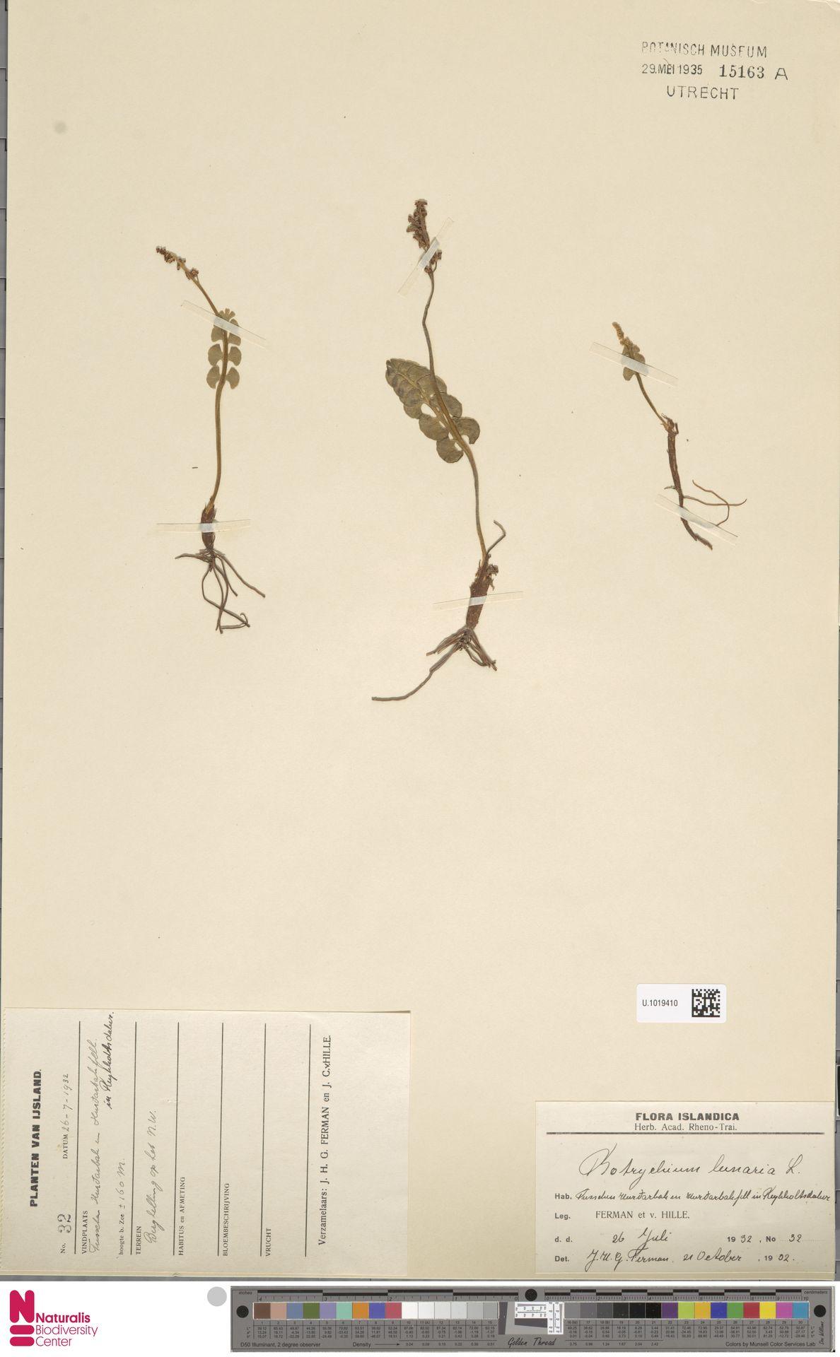 U.1019410 | Botrychium lunaria (L.) Sw.