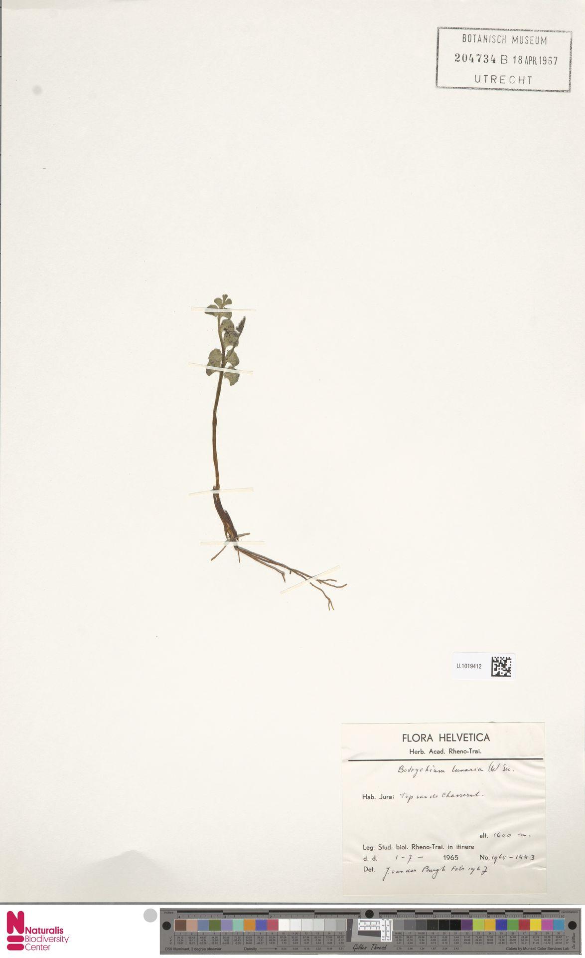 U.1019412 | Botrychium lunaria (L.) Sw.