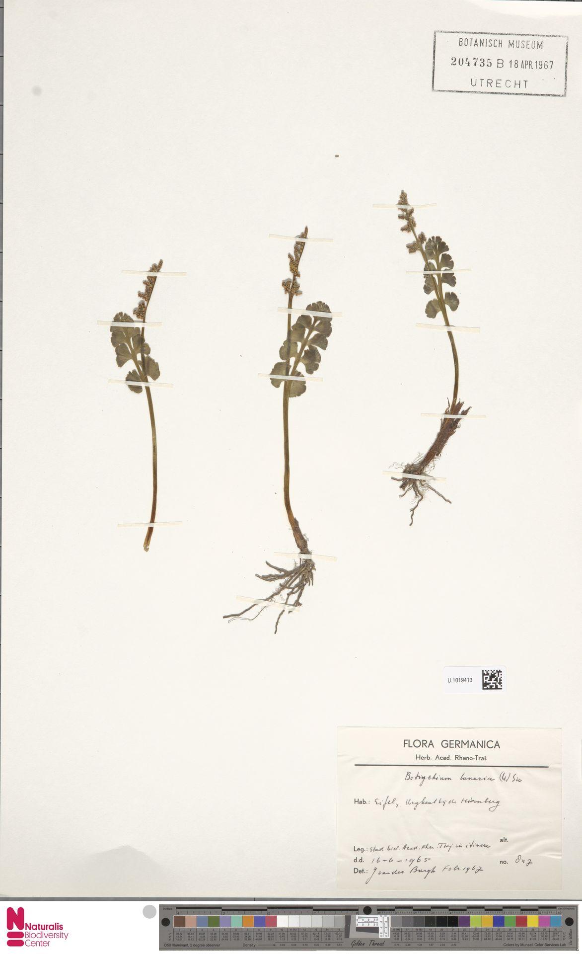 U.1019413   Botrychium lunaria (L.) Sw.