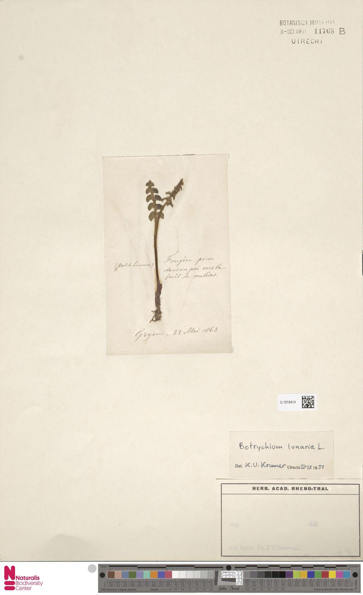 U.1019414 | Botrychium lunaria (L.) Sw.