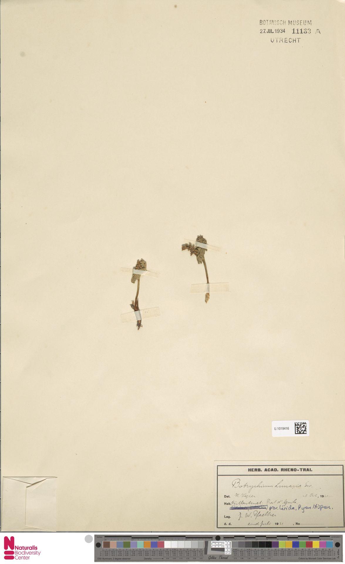 U.1019416 | Botrychium lunaria (L.) Sw.