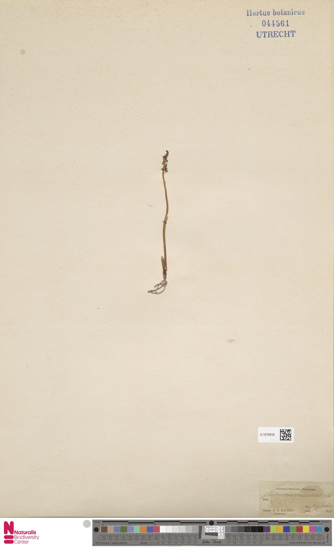 U.1019418 | Botrychium lunaria (L.) Sw.