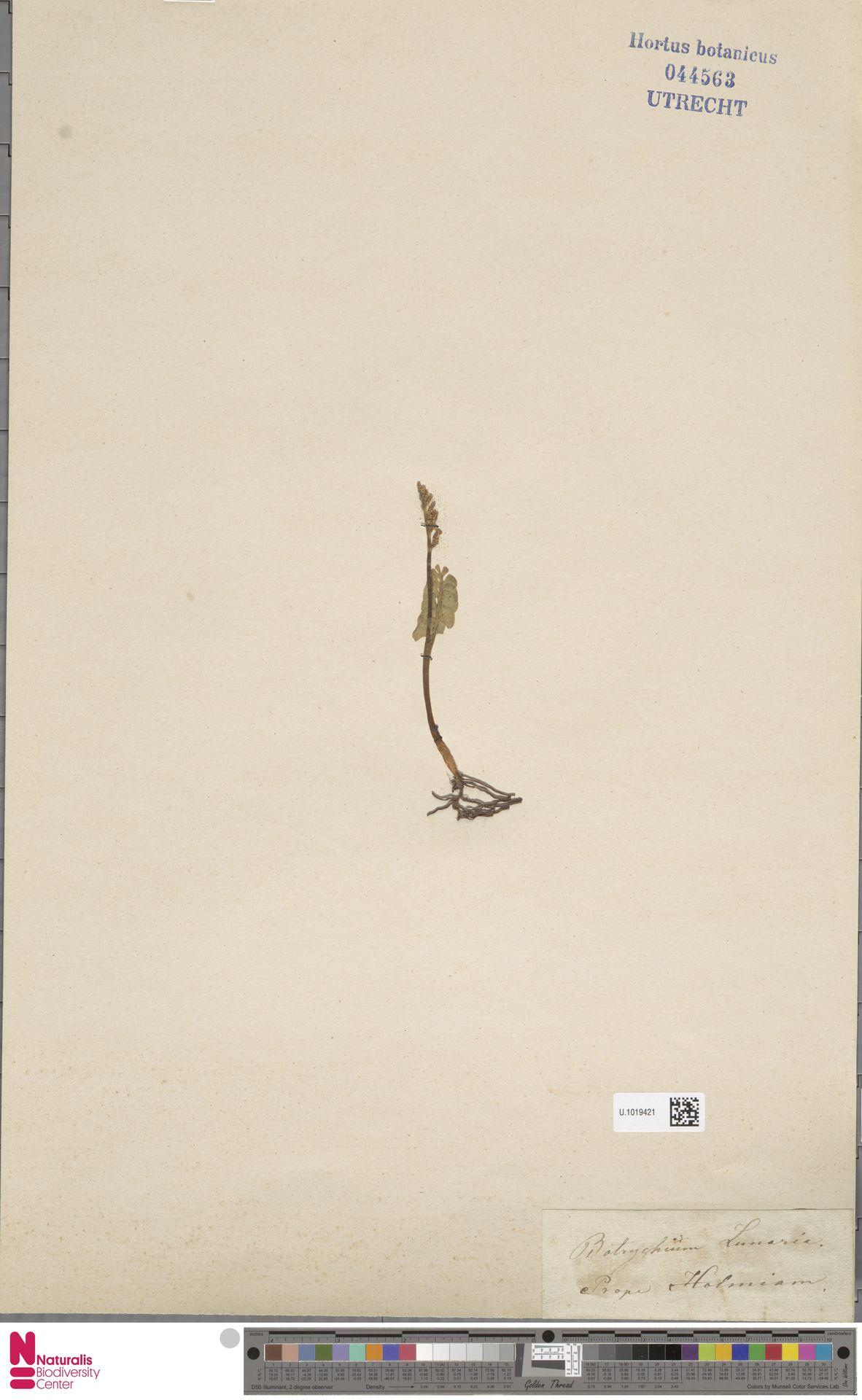 U.1019421 | Botrychium lunaria (L.) Sw.
