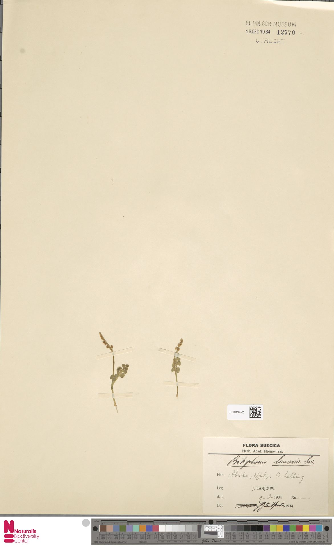 U.1019422 | Botrychium lunaria (L.) Sw.