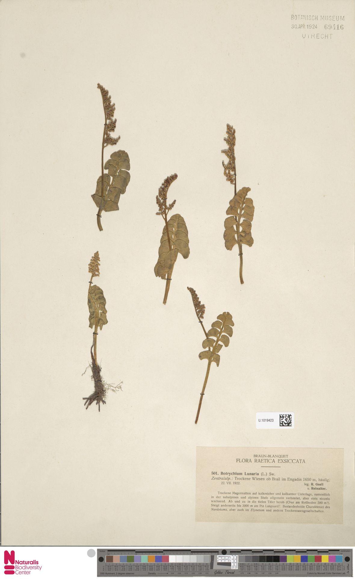 U.1019423 | Botrychium lunaria (L.) Sw.
