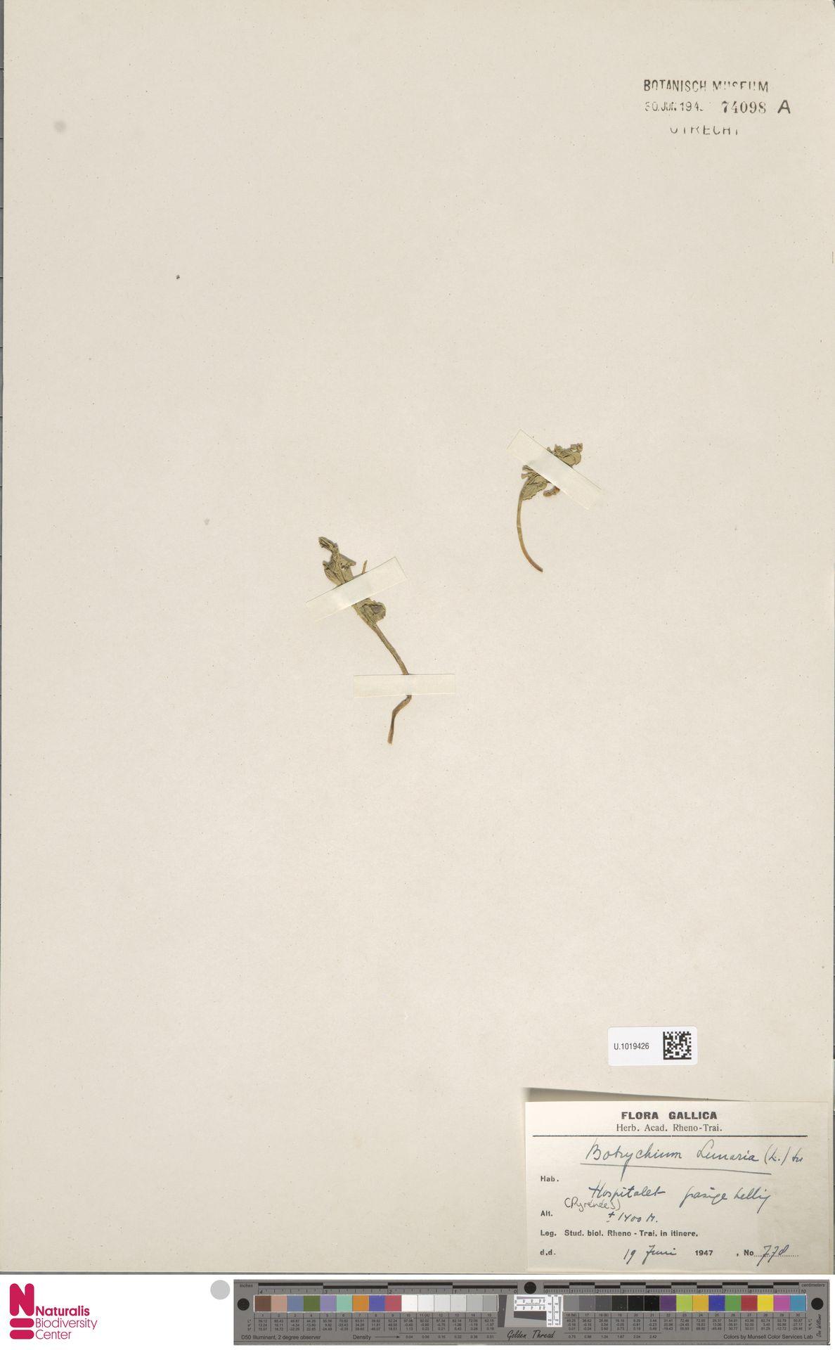 U.1019426 | Botrychium lunaria (L.) Sw.
