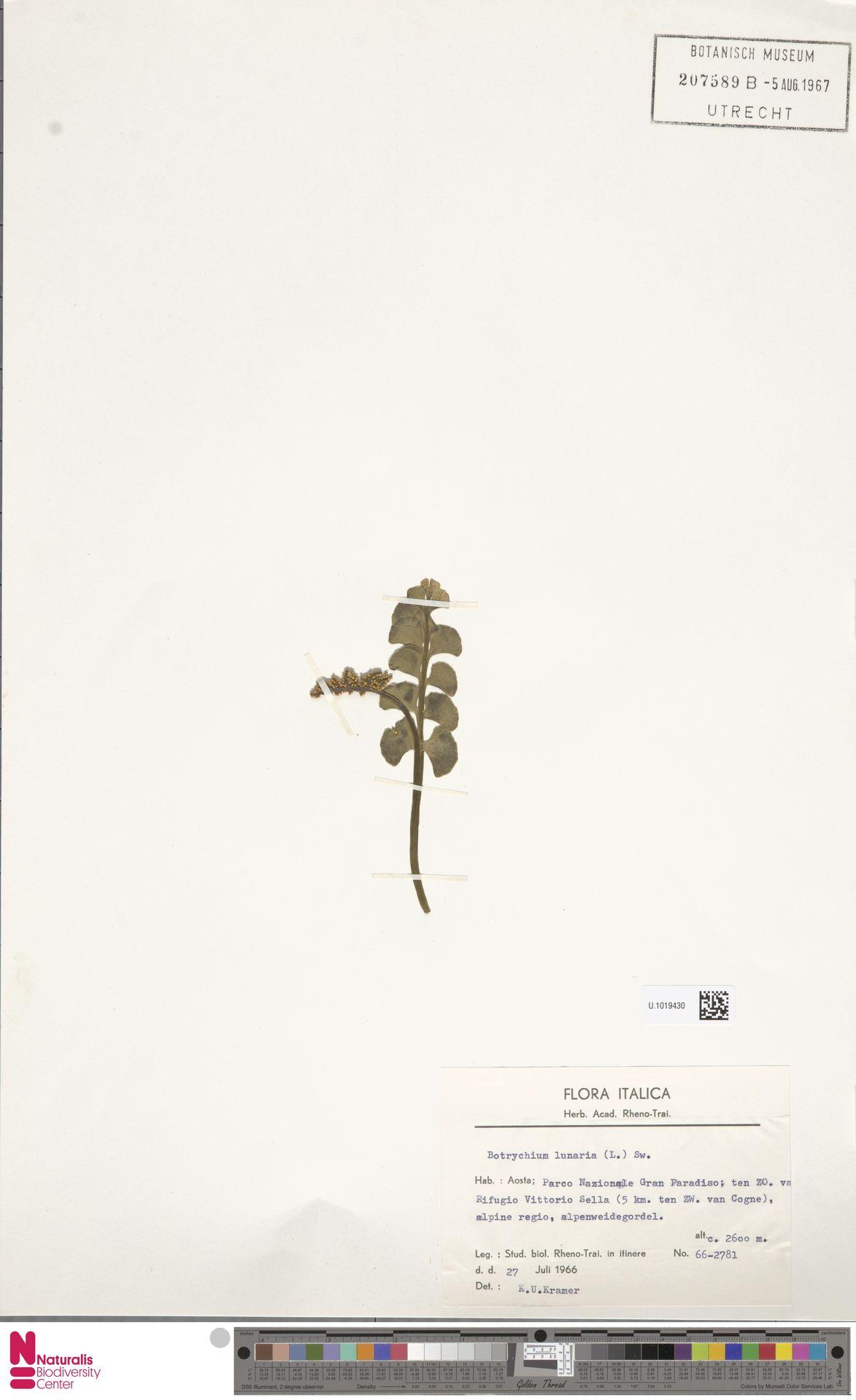 U.1019430   Botrychium lunaria (L.) Sw.