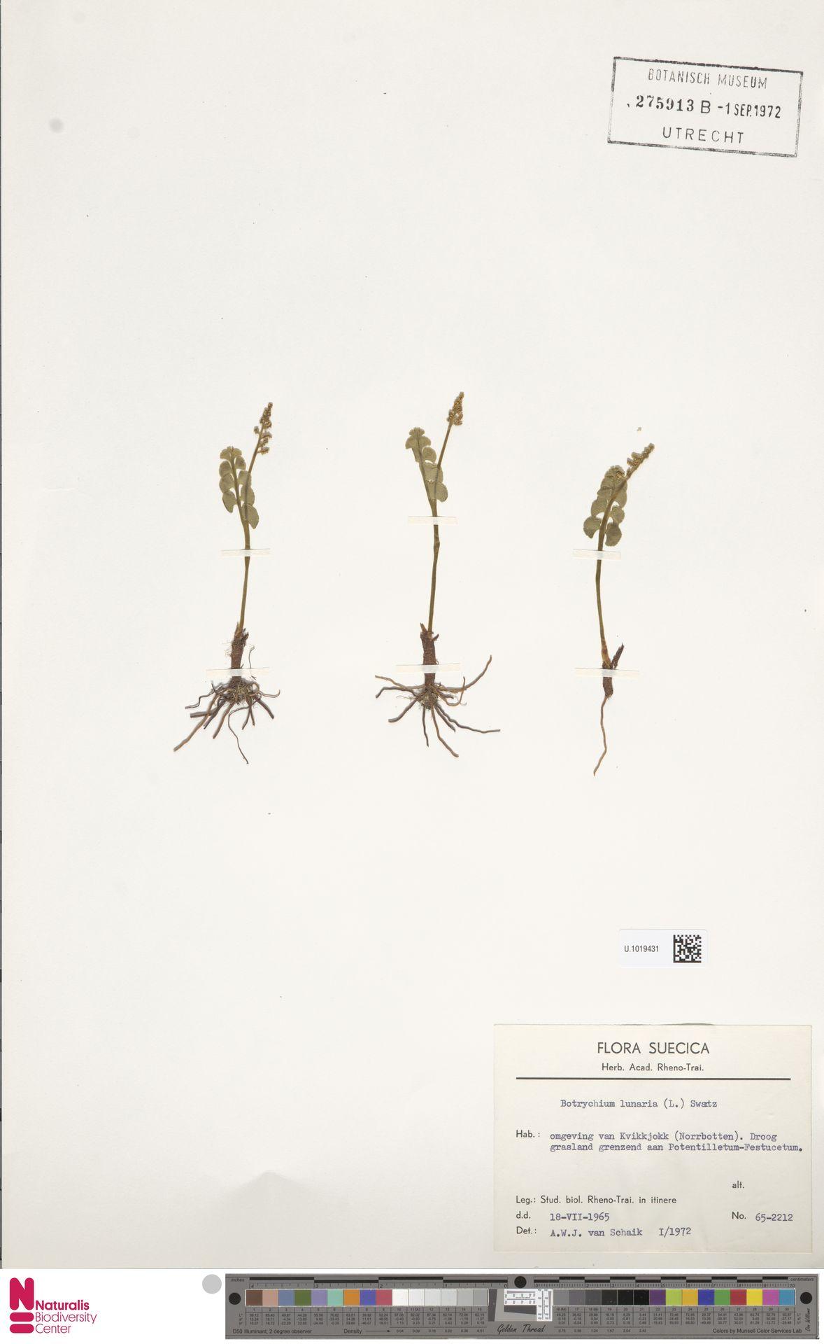 U.1019431 | Botrychium lunaria (L.) Sw.
