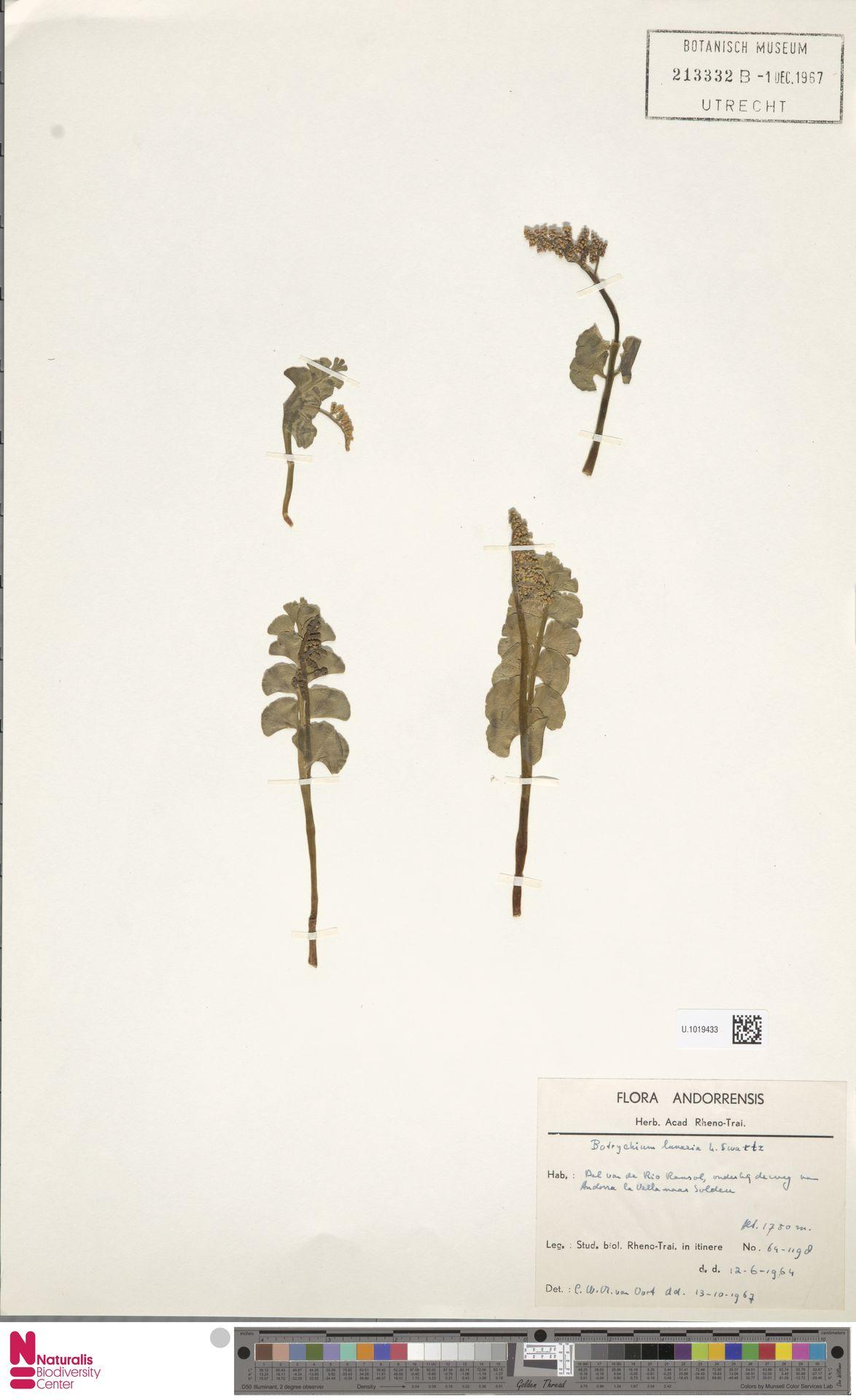 U.1019433 | Botrychium lunaria (L.) Sw.