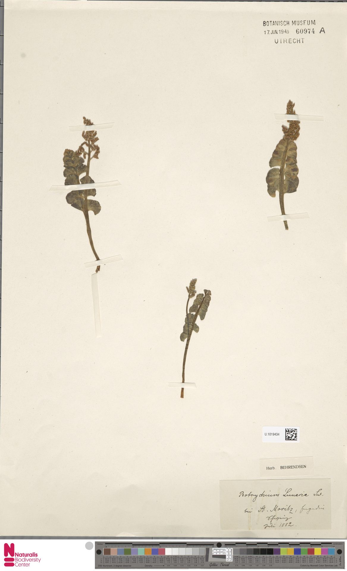 U.1019434   Botrychium lunaria (L.) Sw.