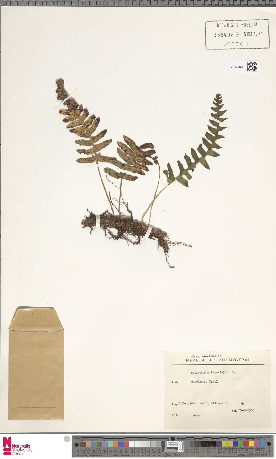 U.1028682 | Botrychium lunaria (L.) Sw.