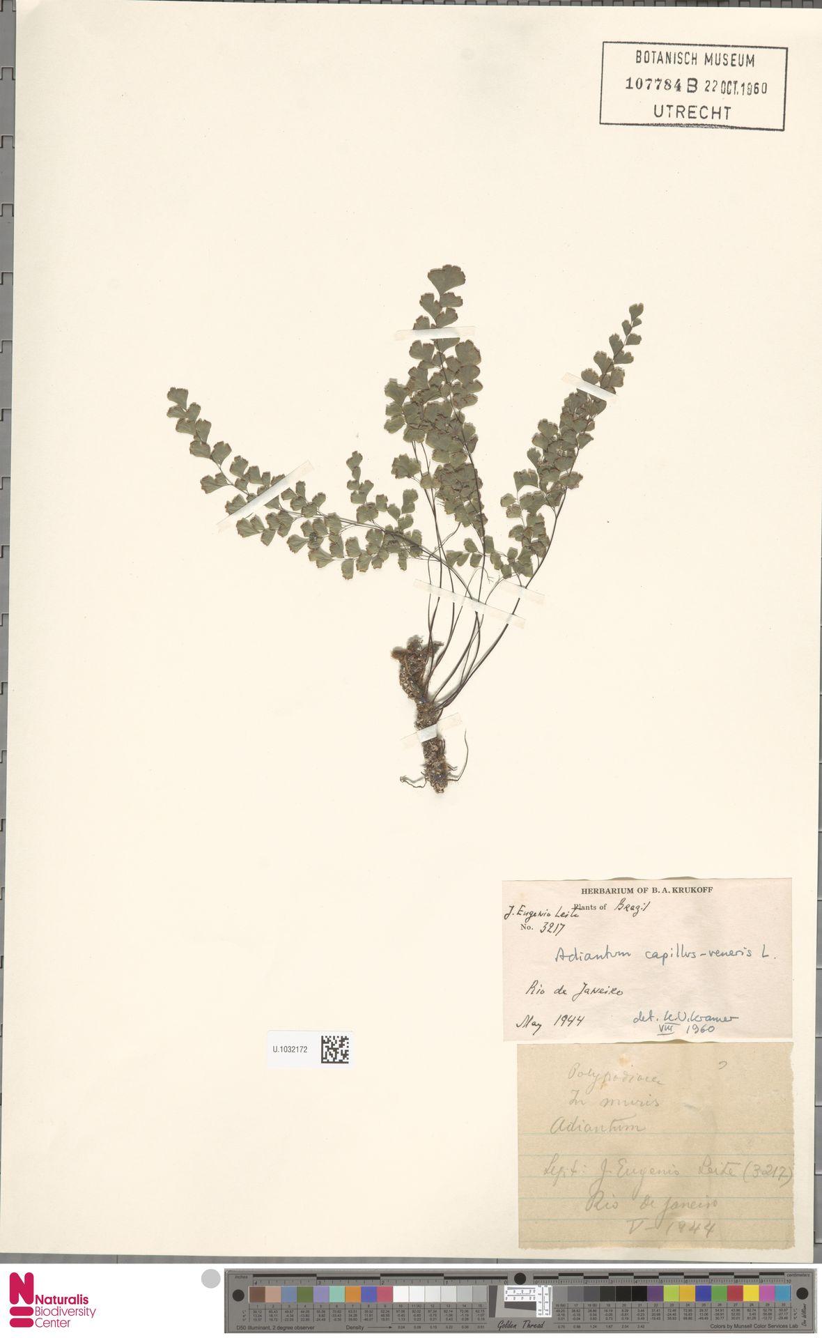 U.1032172 | Adiantum capillus-veneris L.