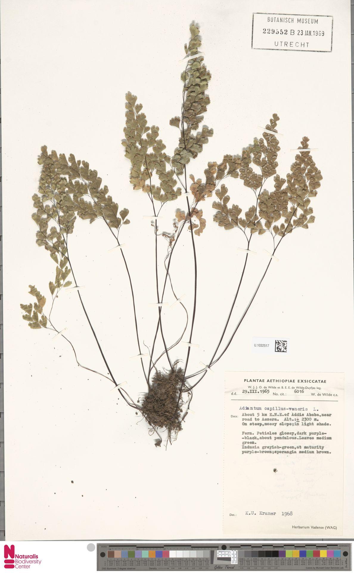 U.1032517 | Adiantum capillus-veneris L.