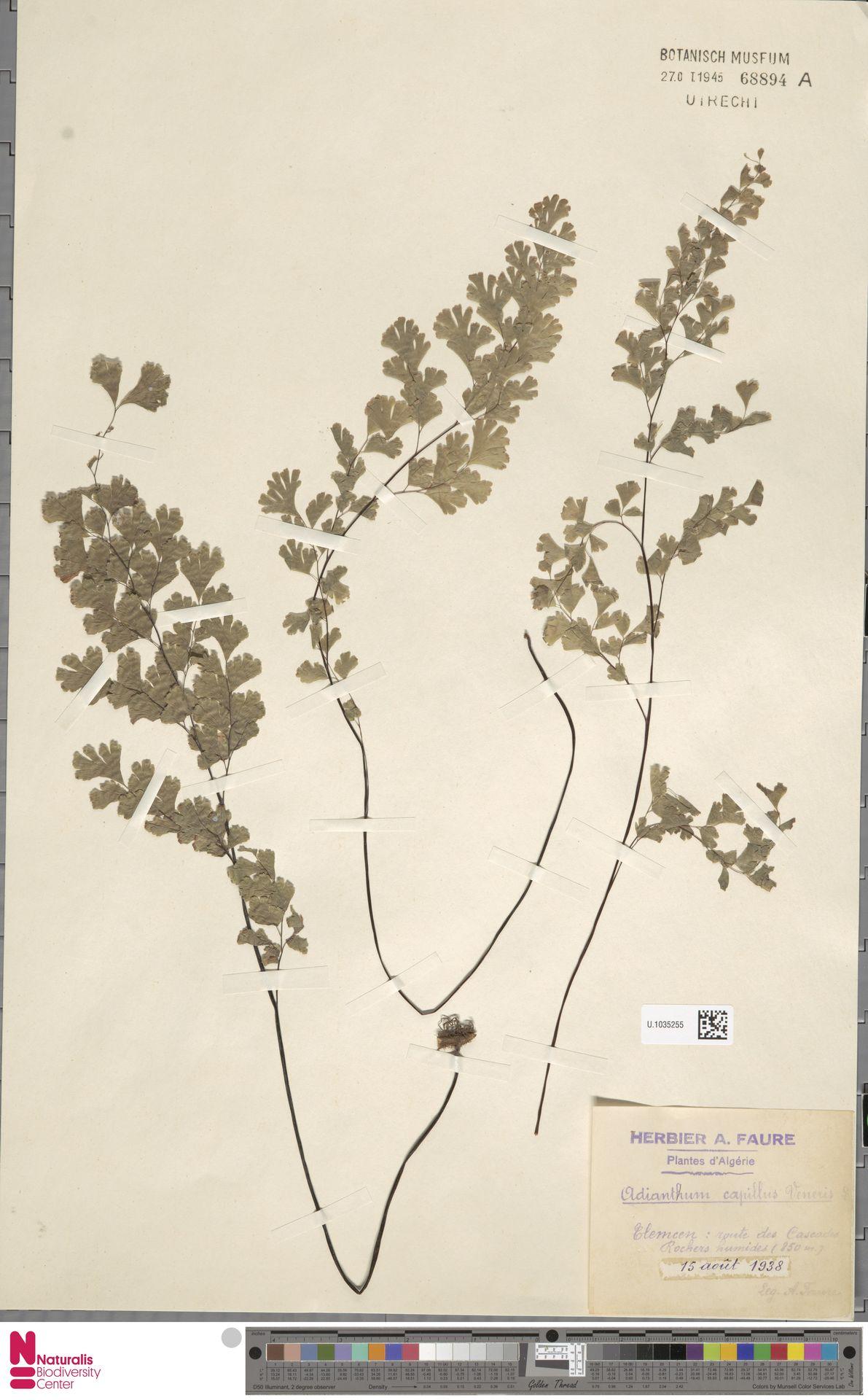 U.1035255 | Adiantum capillus-veneris L.