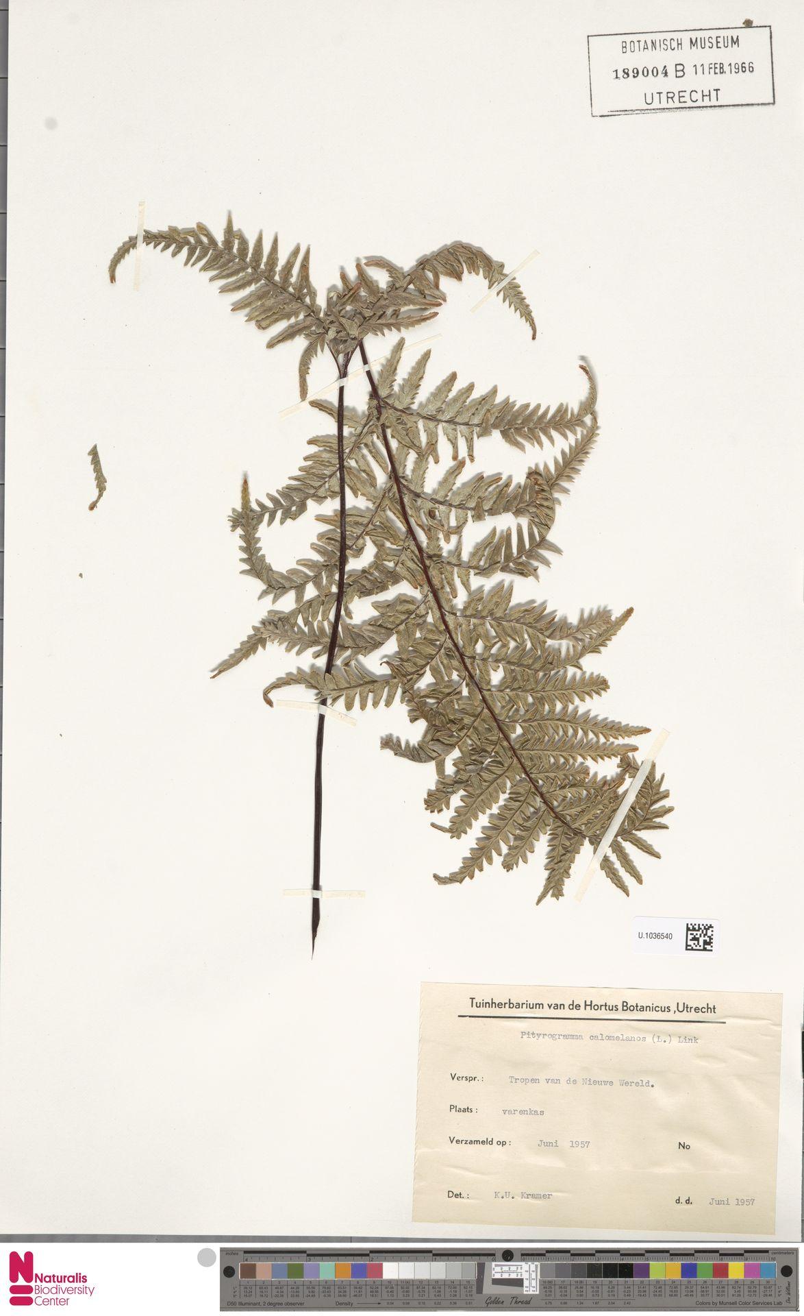 U.1036540 | Pityrogramma calomelanos (L.) Link