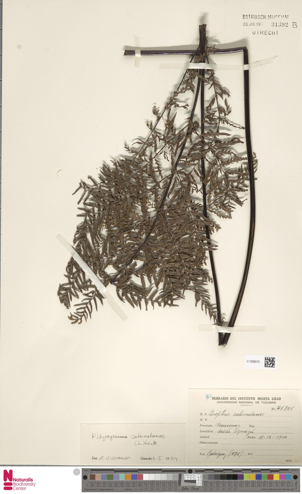 U.1036575 | Pityrogramma calomelanos (L.) Link