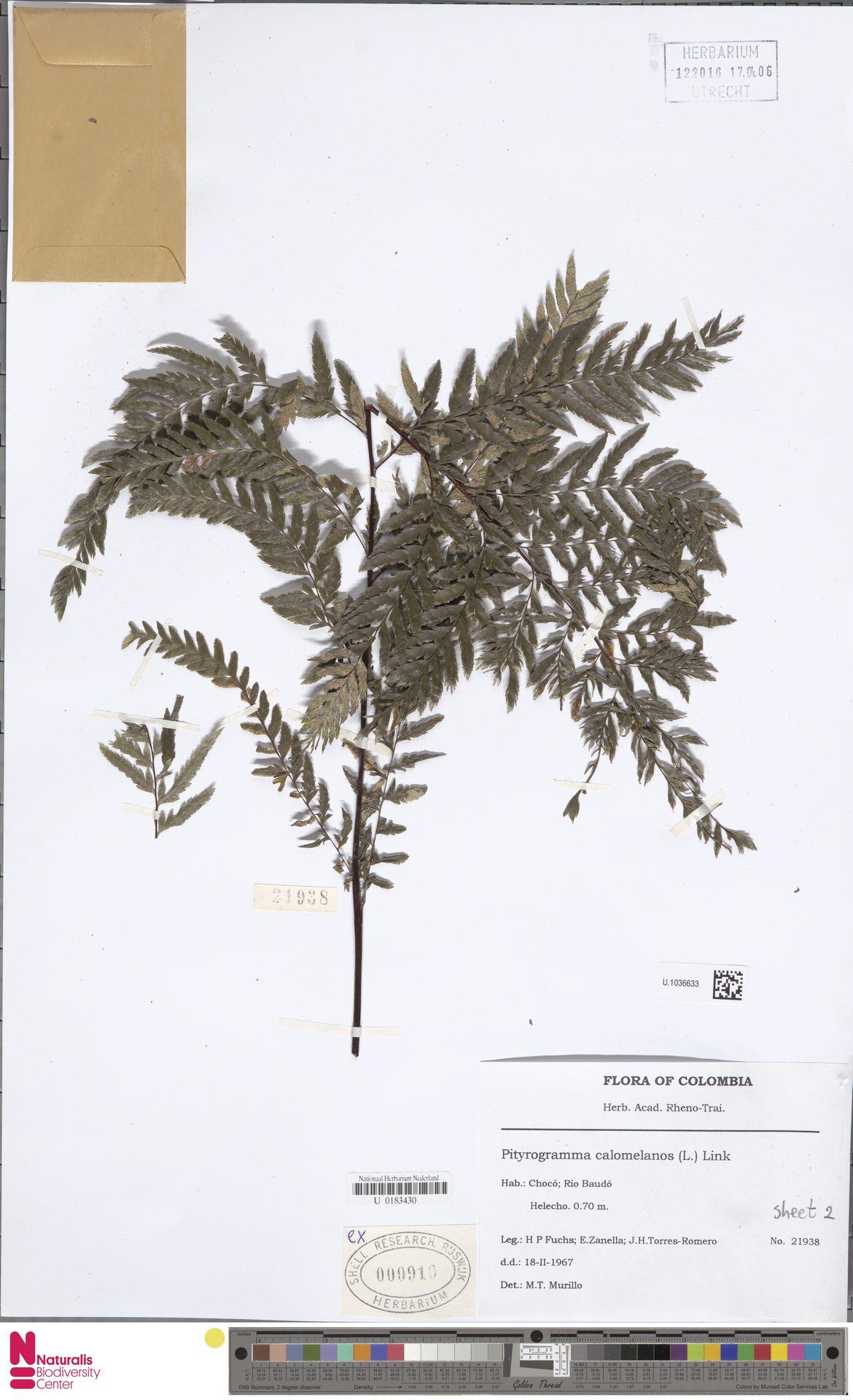 U.1036633 | Pityrogramma calomelanos (L.) Link