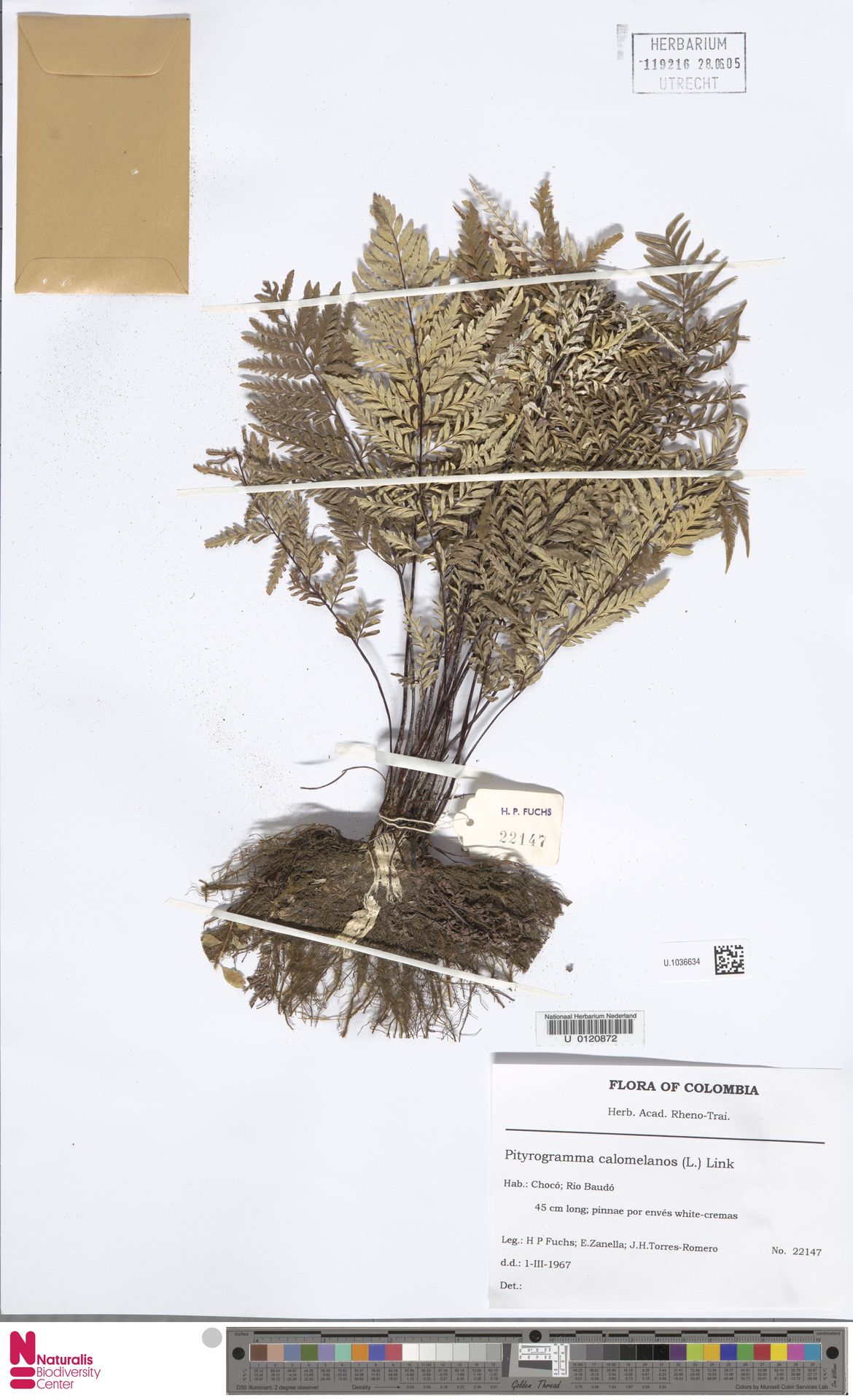 U.1036634 | Pityrogramma calomelanos (L.) Link