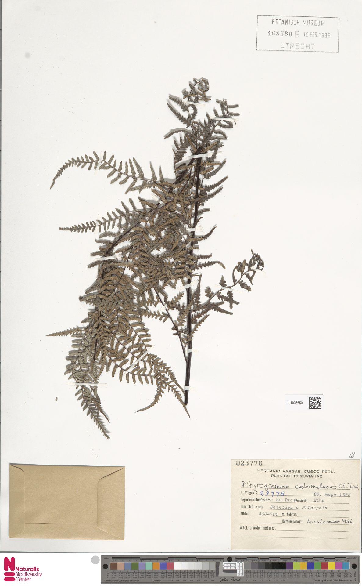 U.1036650 | Pityrogramma calomelanos (L.) Link