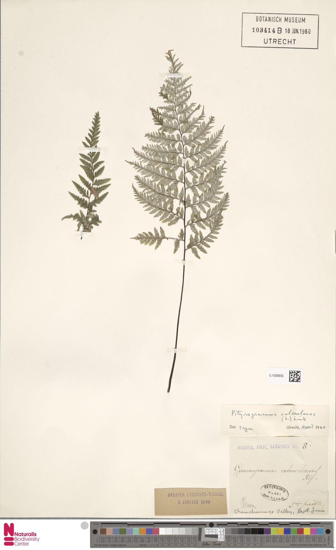 U.1036655 | Pityrogramma calomelanos (L.) Link