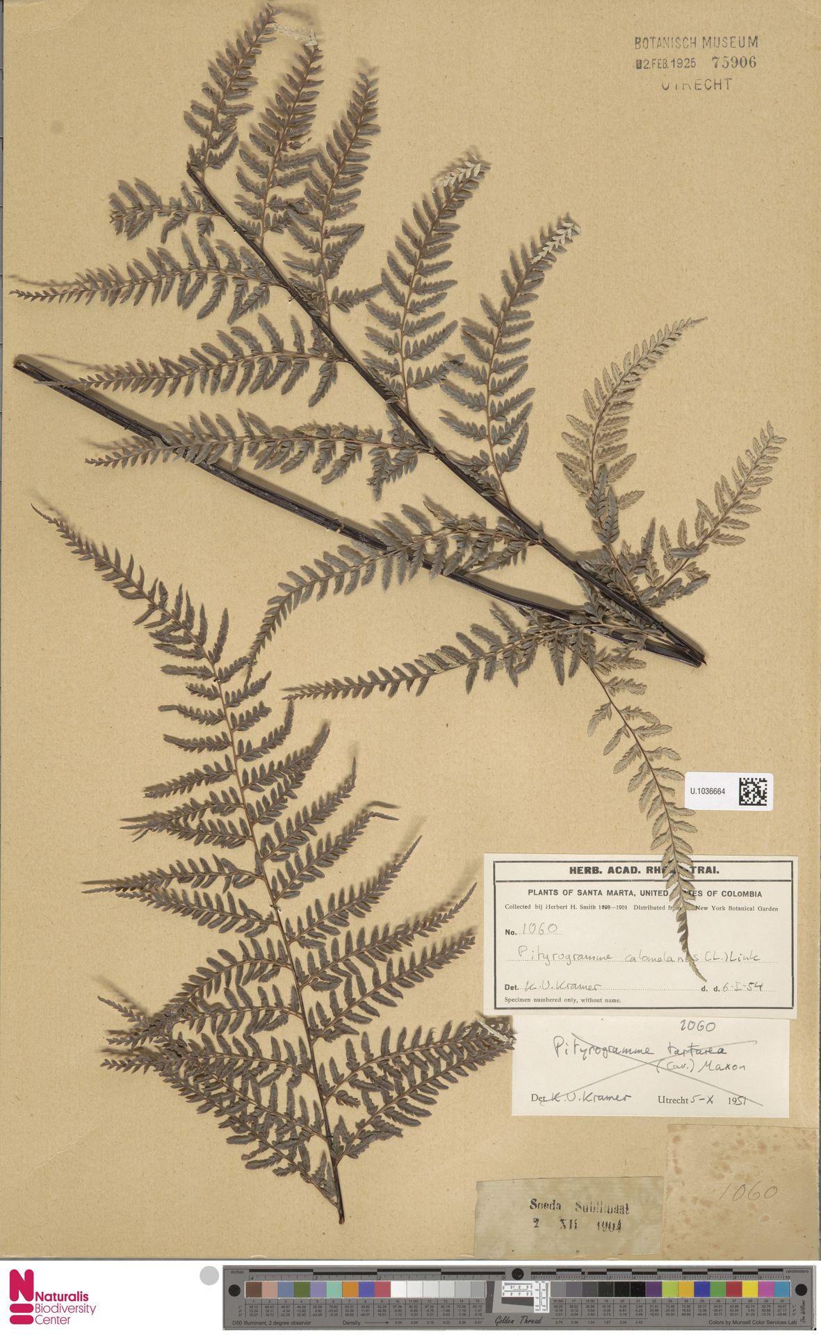 U.1036664 | Pityrogramma calomelanos (L.) Link