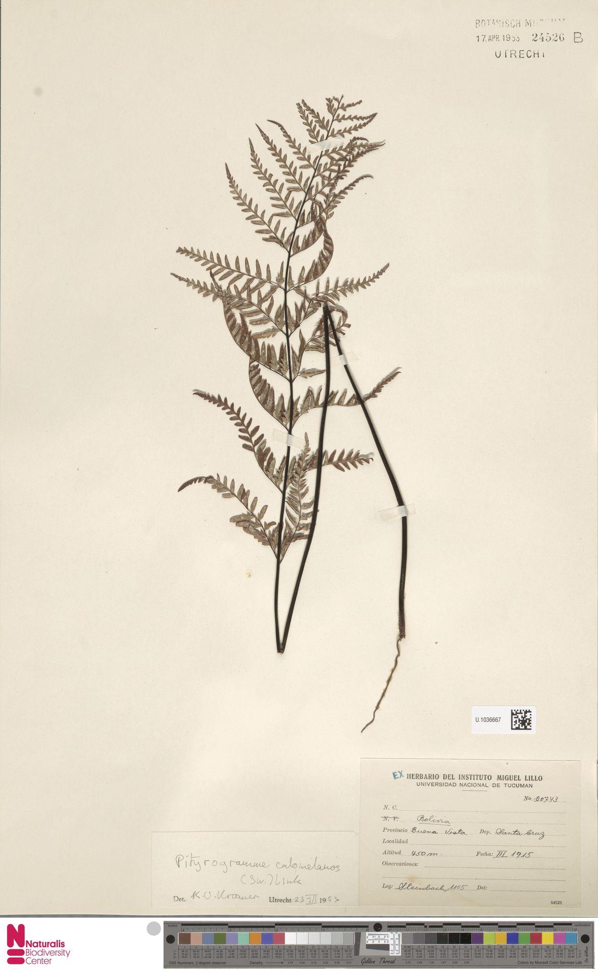 U.1036667 | Pityrogramma calomelanos (L.) Link