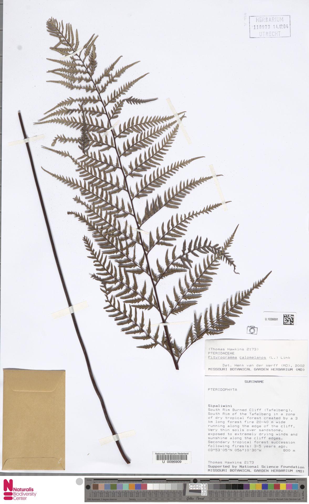 U.1036691 | Pityrogramma calomelanos (L.) Link
