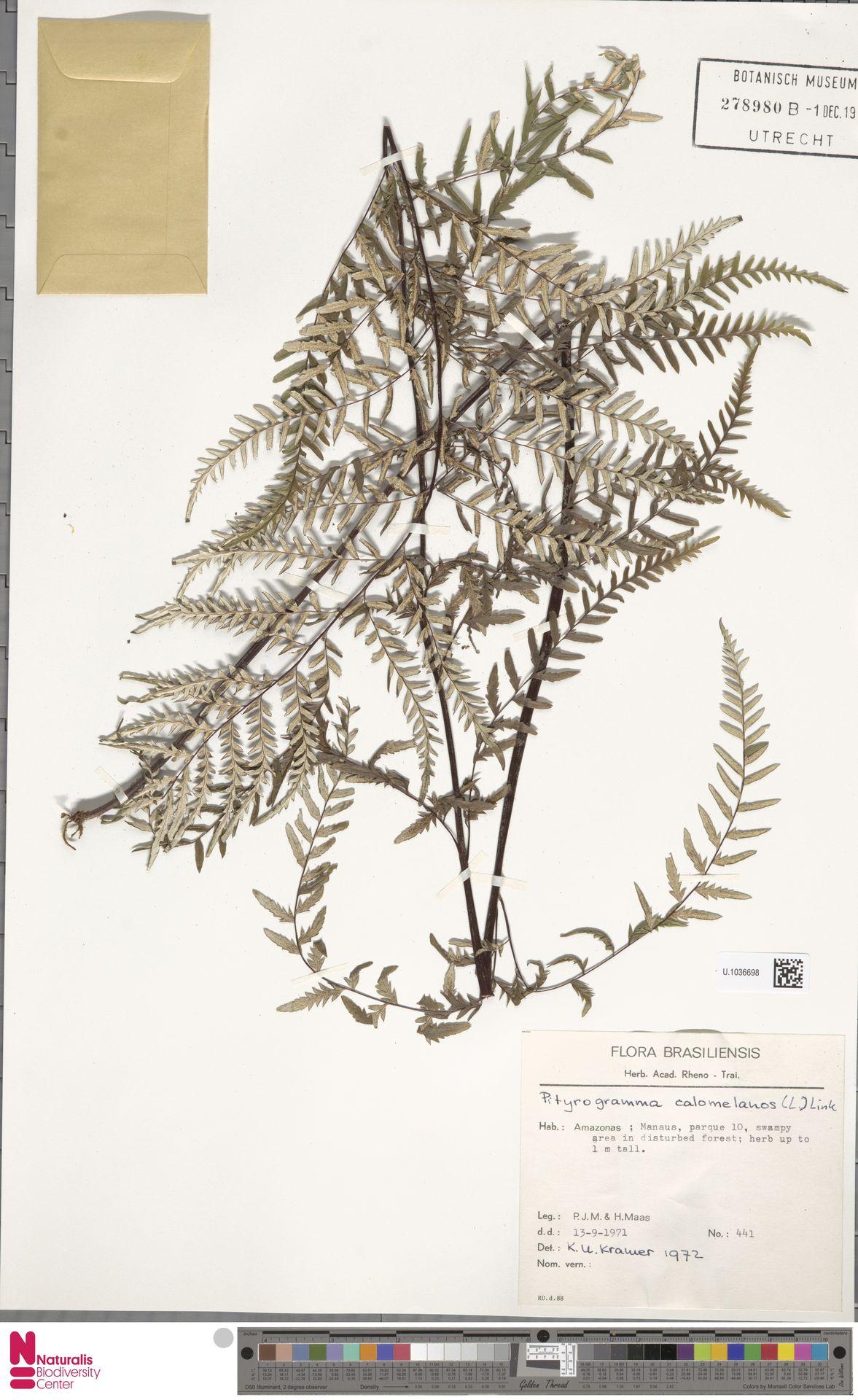 U.1036698   Pityrogramma calomelanos (L.) Link
