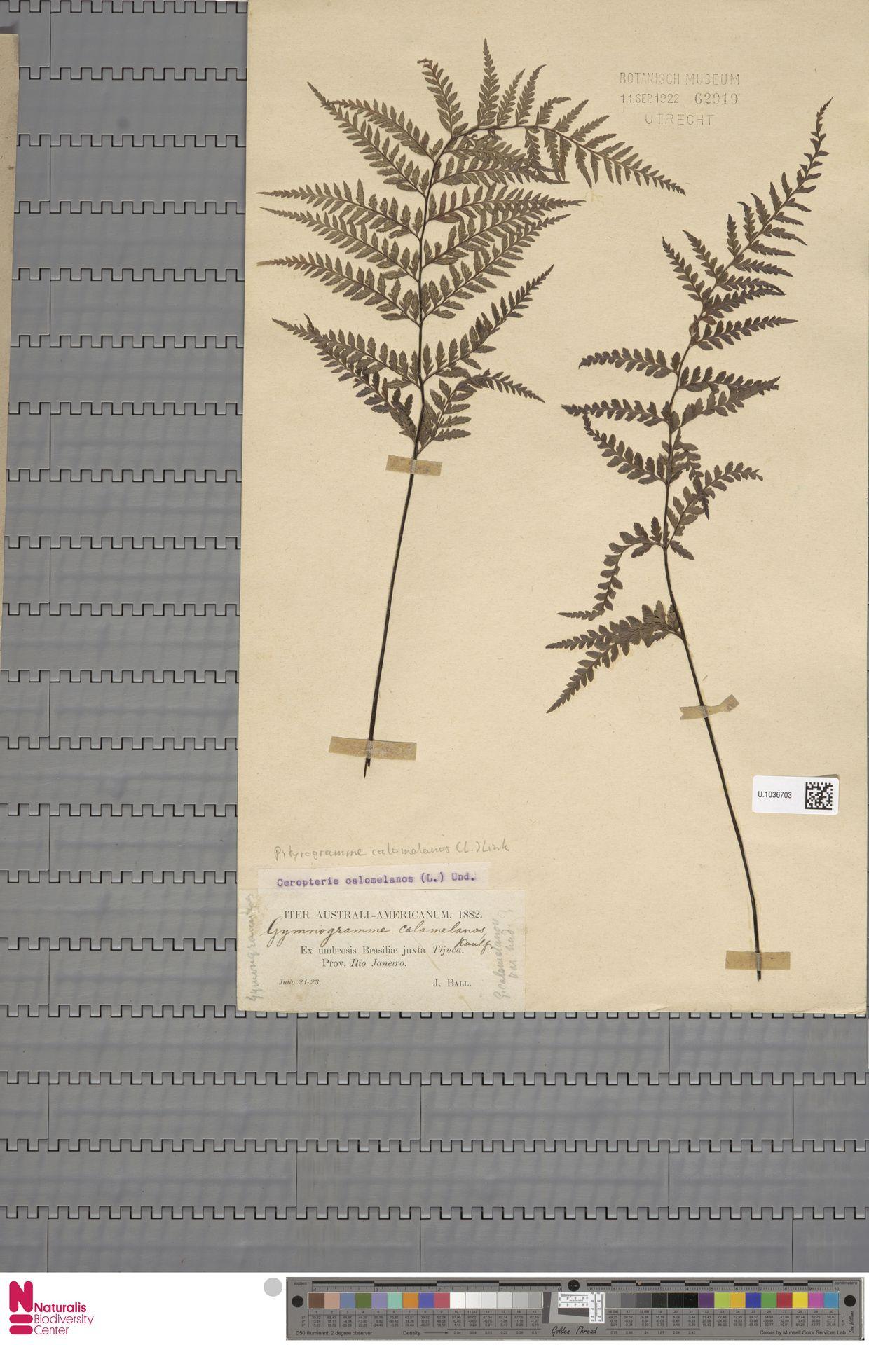U.1036703 | Pityrogramma calomelanos (L.) Link