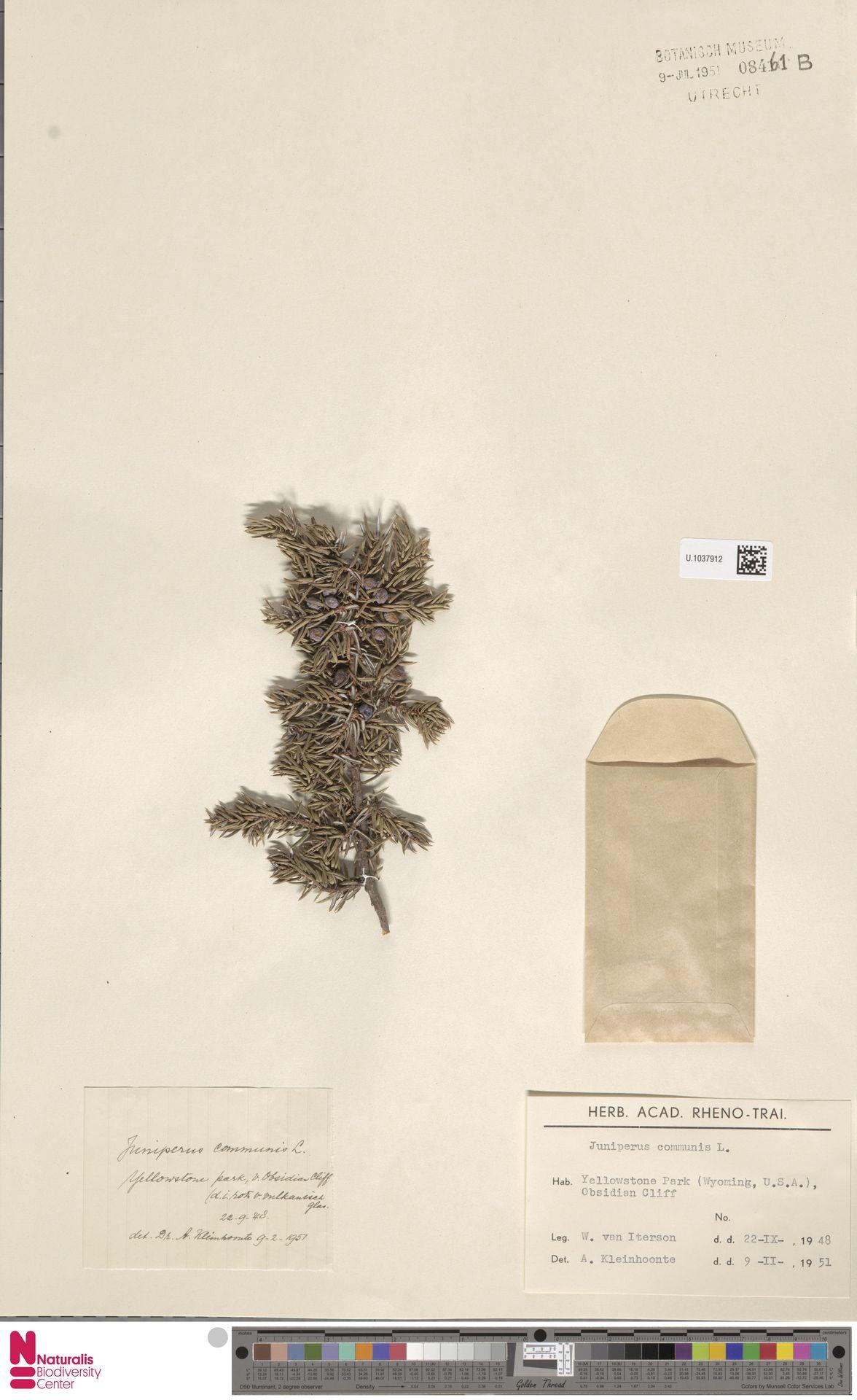 U.1037912 | Juniperus communis L.