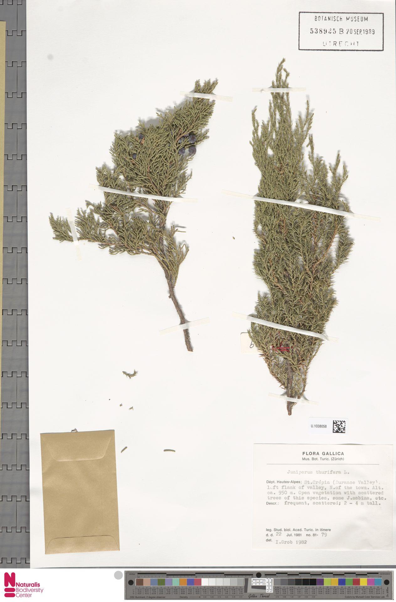 U.1038058 | Juniperus thurifera L.