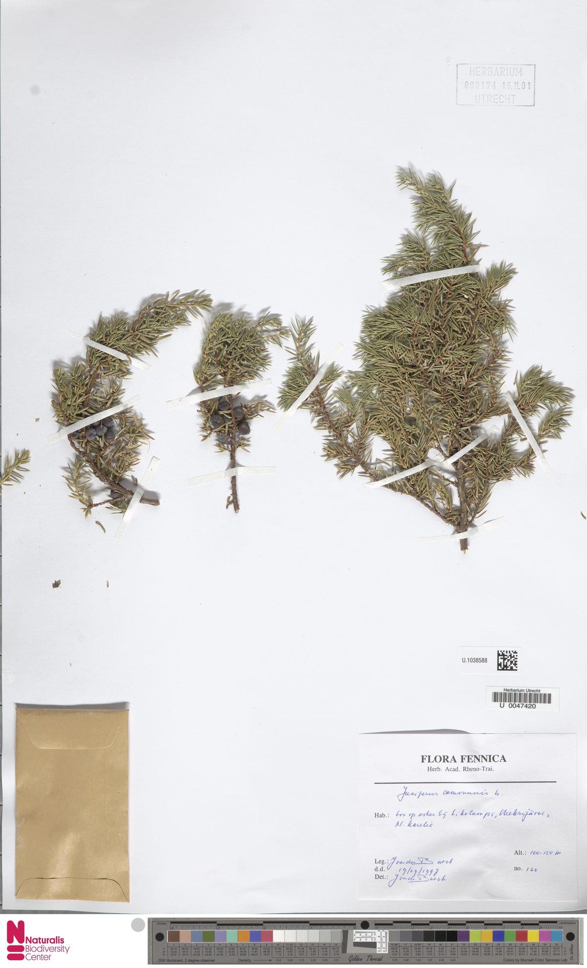 U.1038588 | Juniperus communis L.