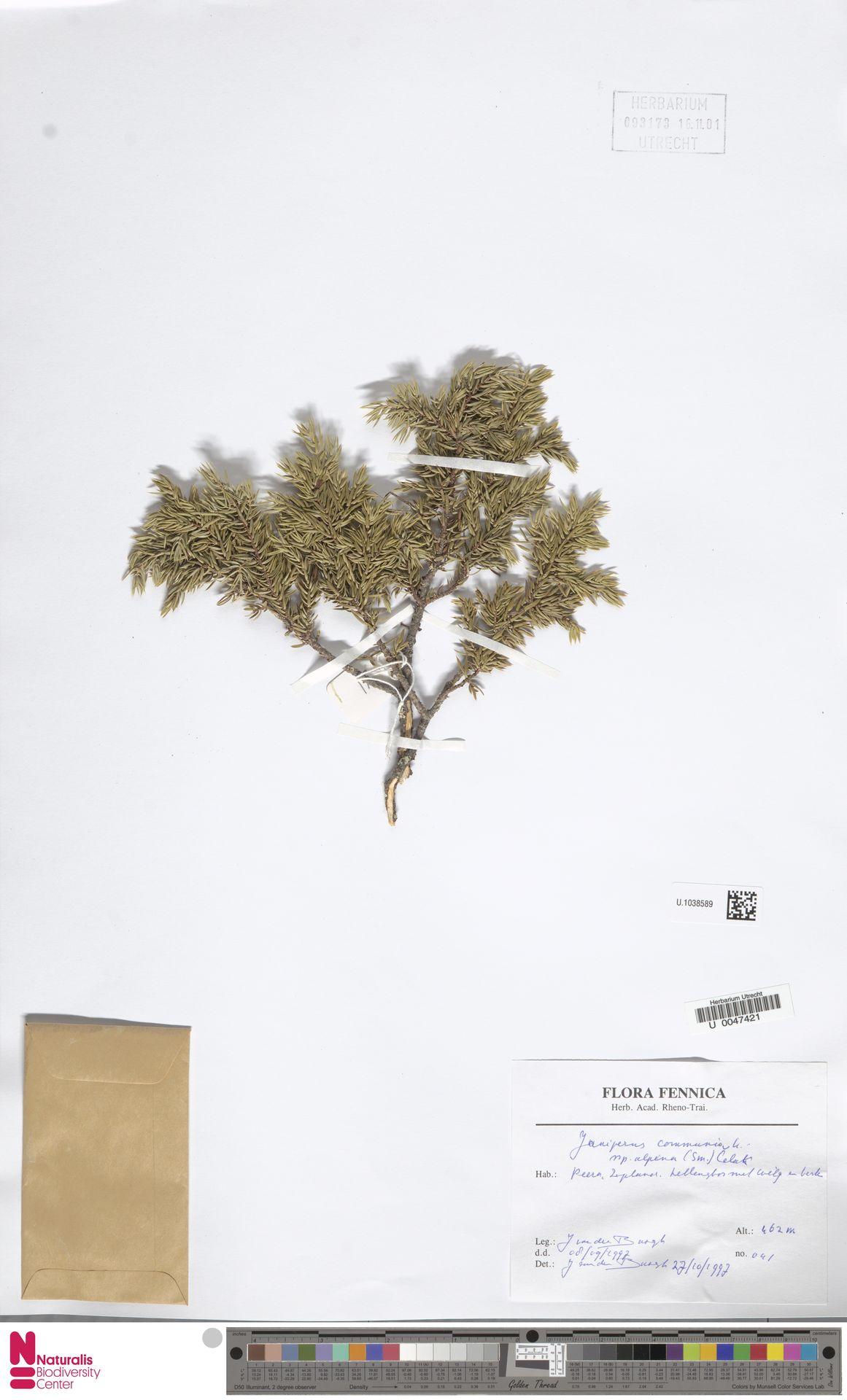 U.1038589 | Juniperus communis L.