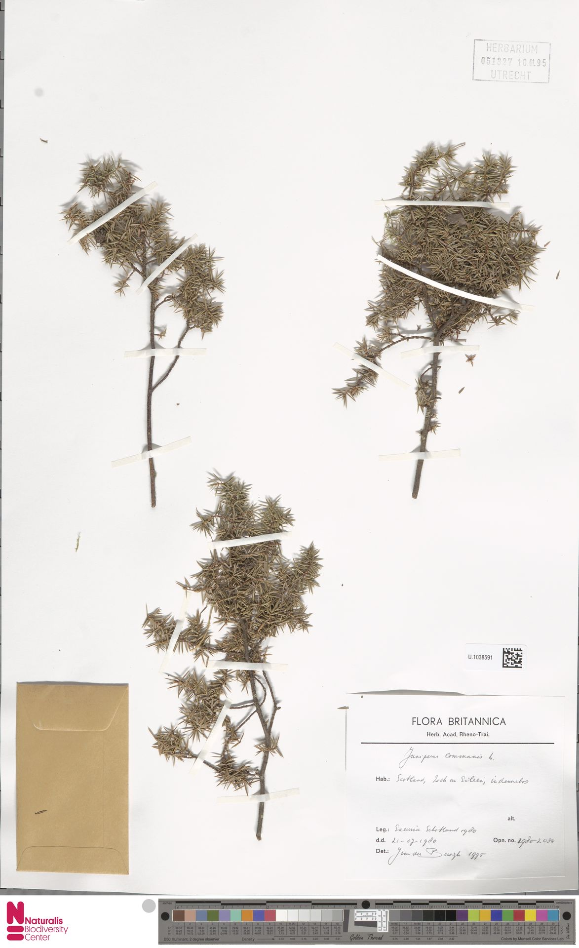 U.1038591 | Juniperus communis L.
