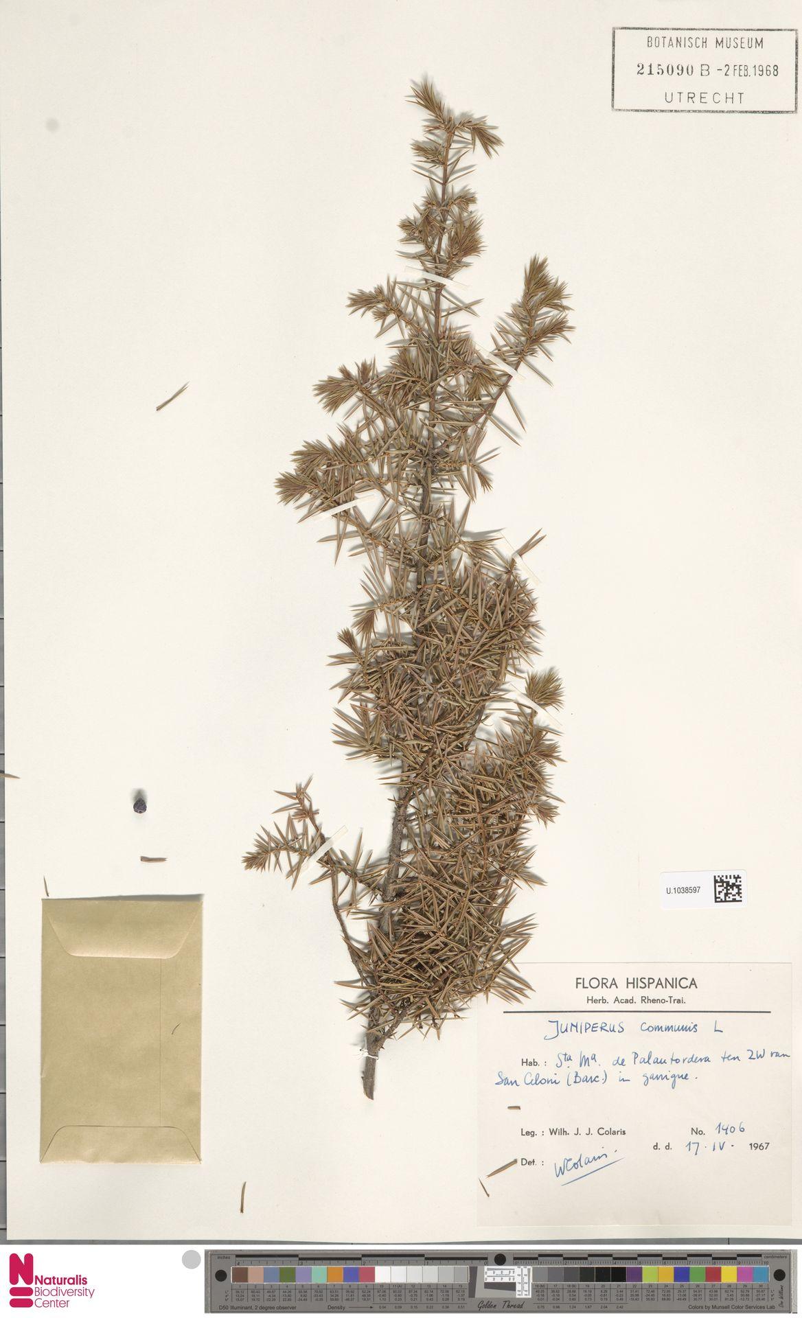 U.1038597 | Juniperus communis L.