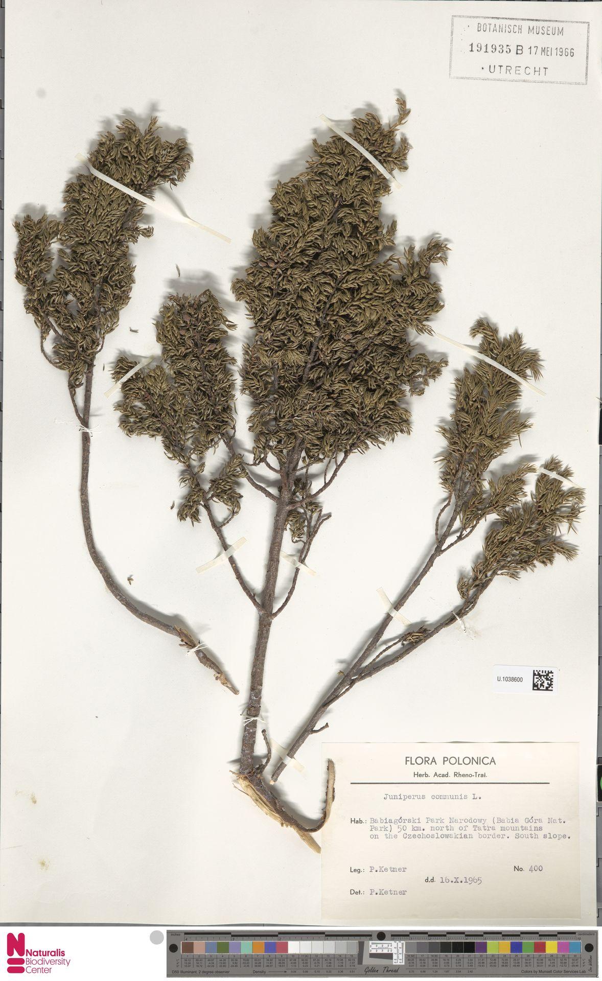 U.1038600 | Juniperus communis L.