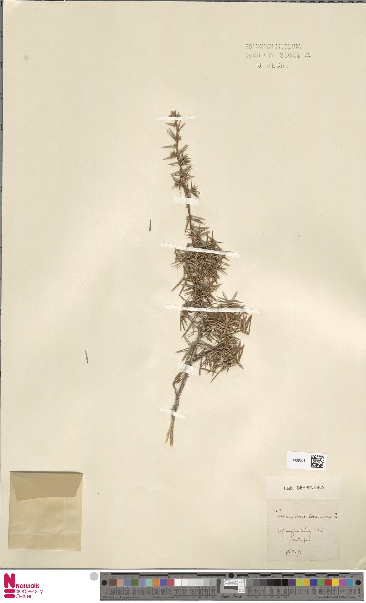 U.1038604   Juniperus communis L.