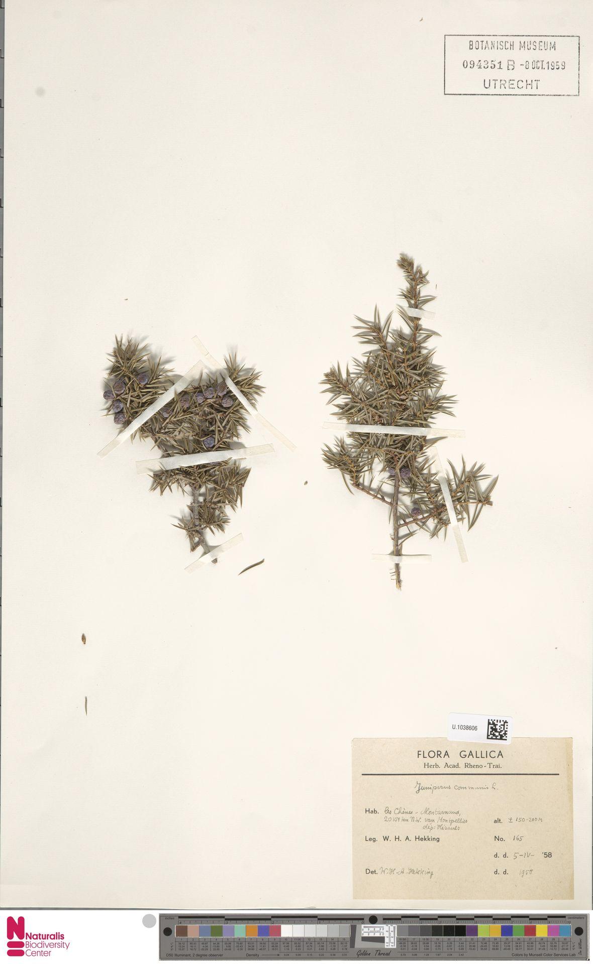 U.1038606 | Juniperus communis L.