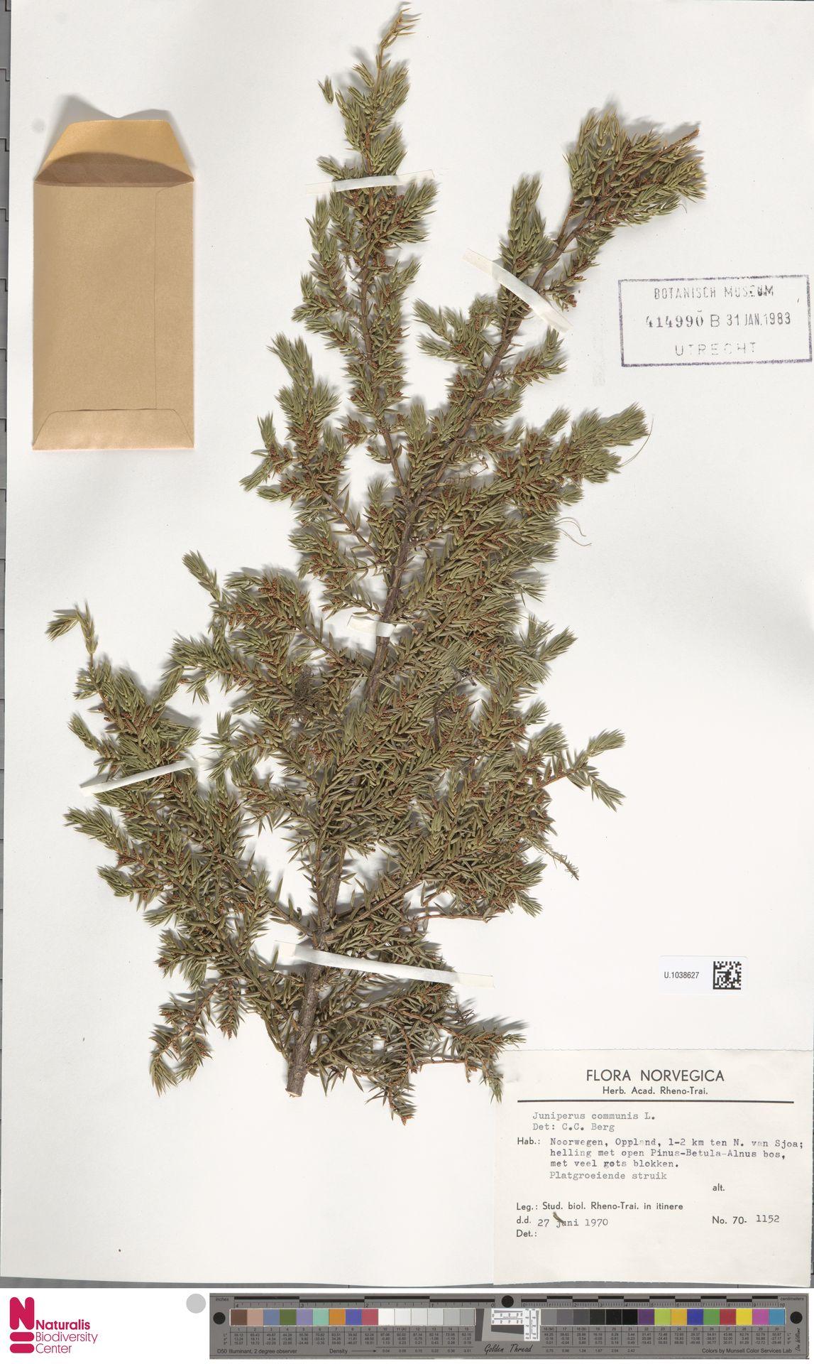 U.1038627   Juniperus communis L.