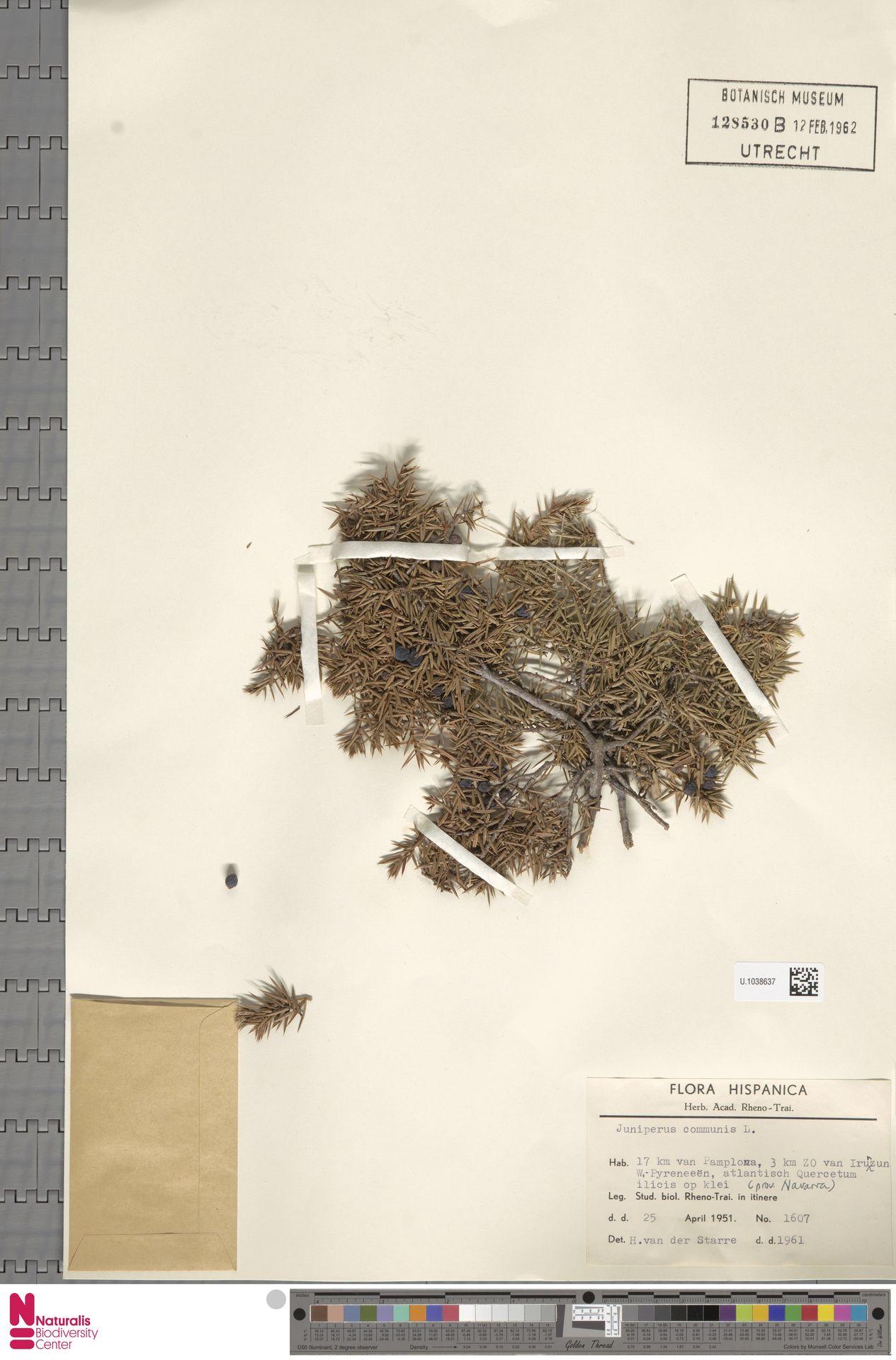 U.1038637 | Juniperus communis L.