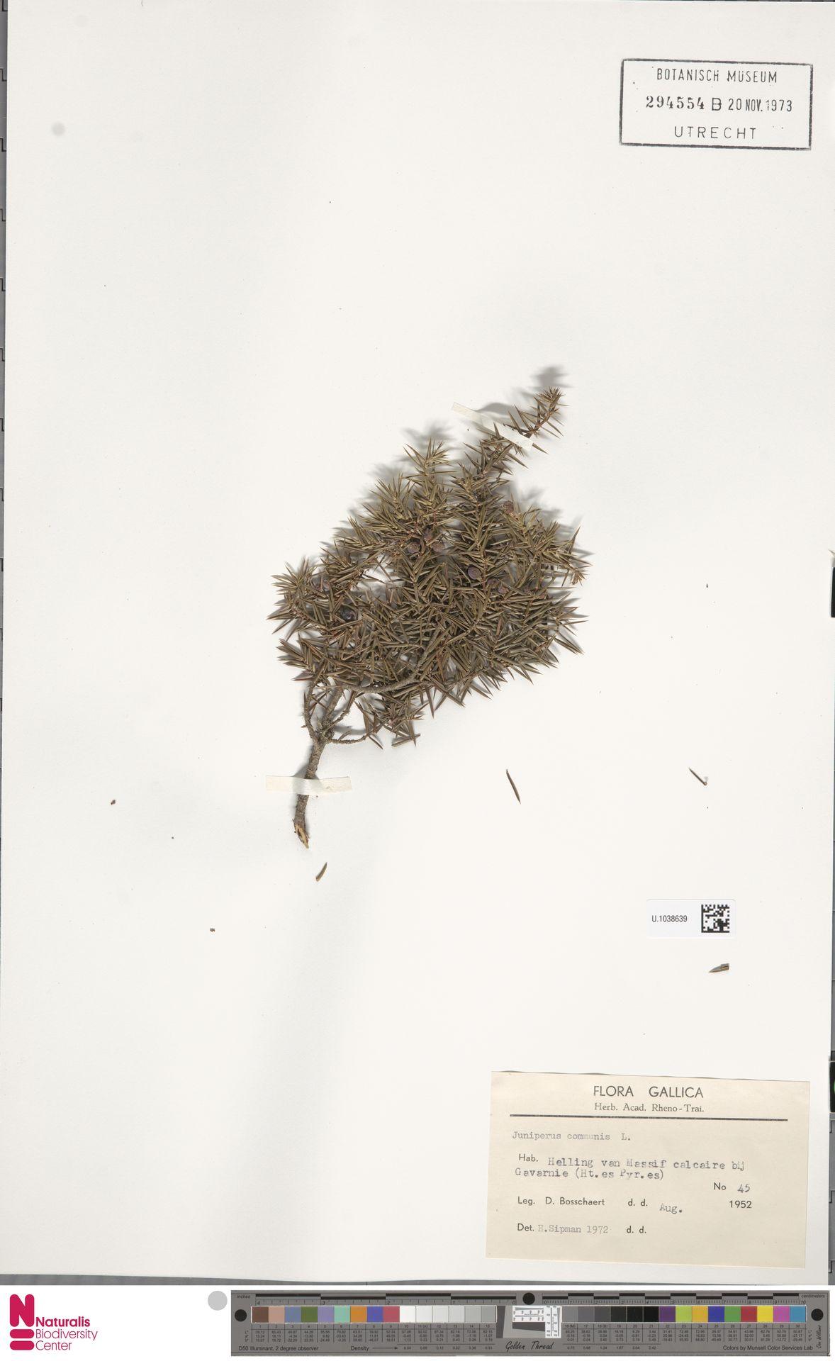 U.1038639 | Juniperus communis L.