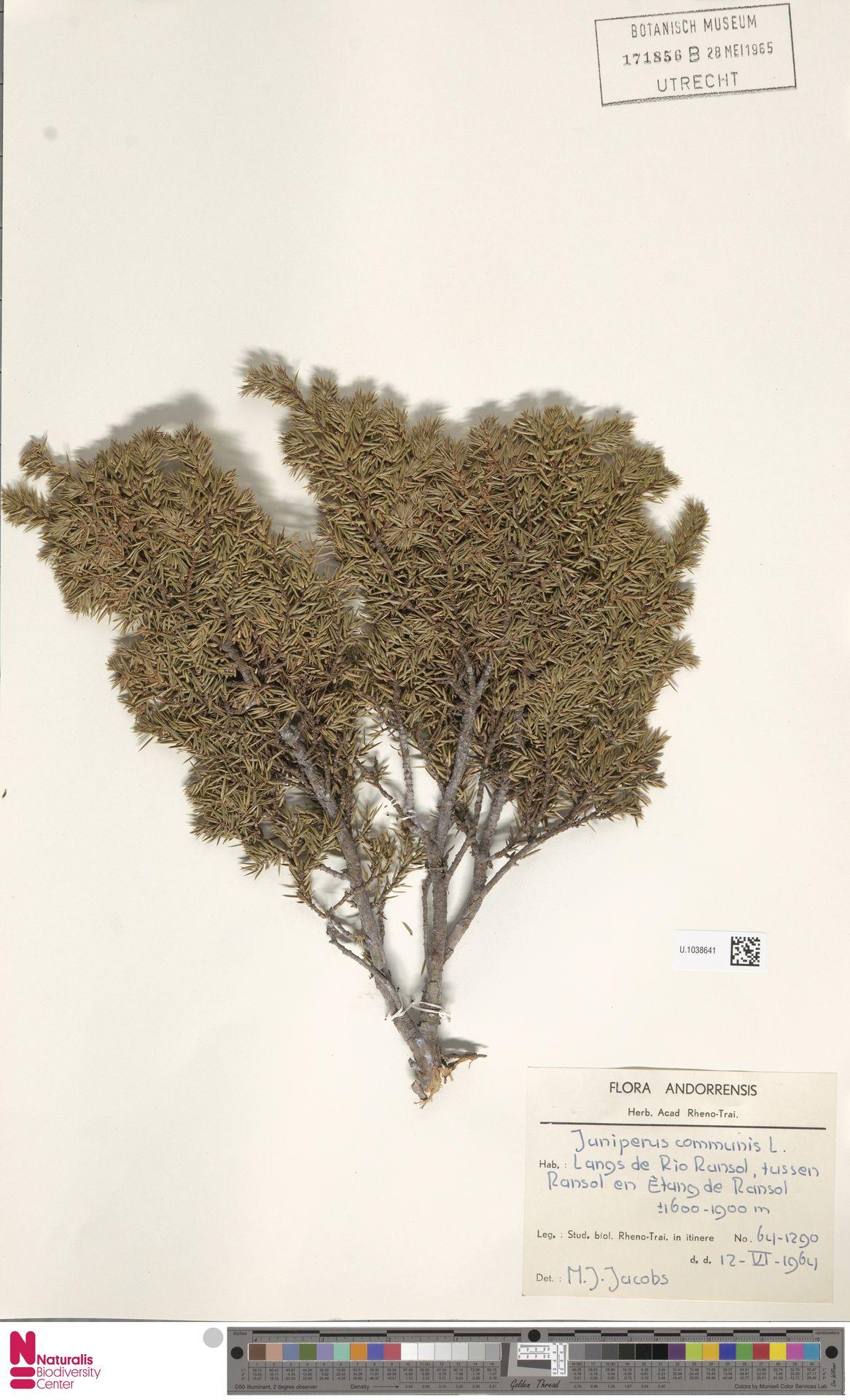 U.1038641 | Juniperus communis L.