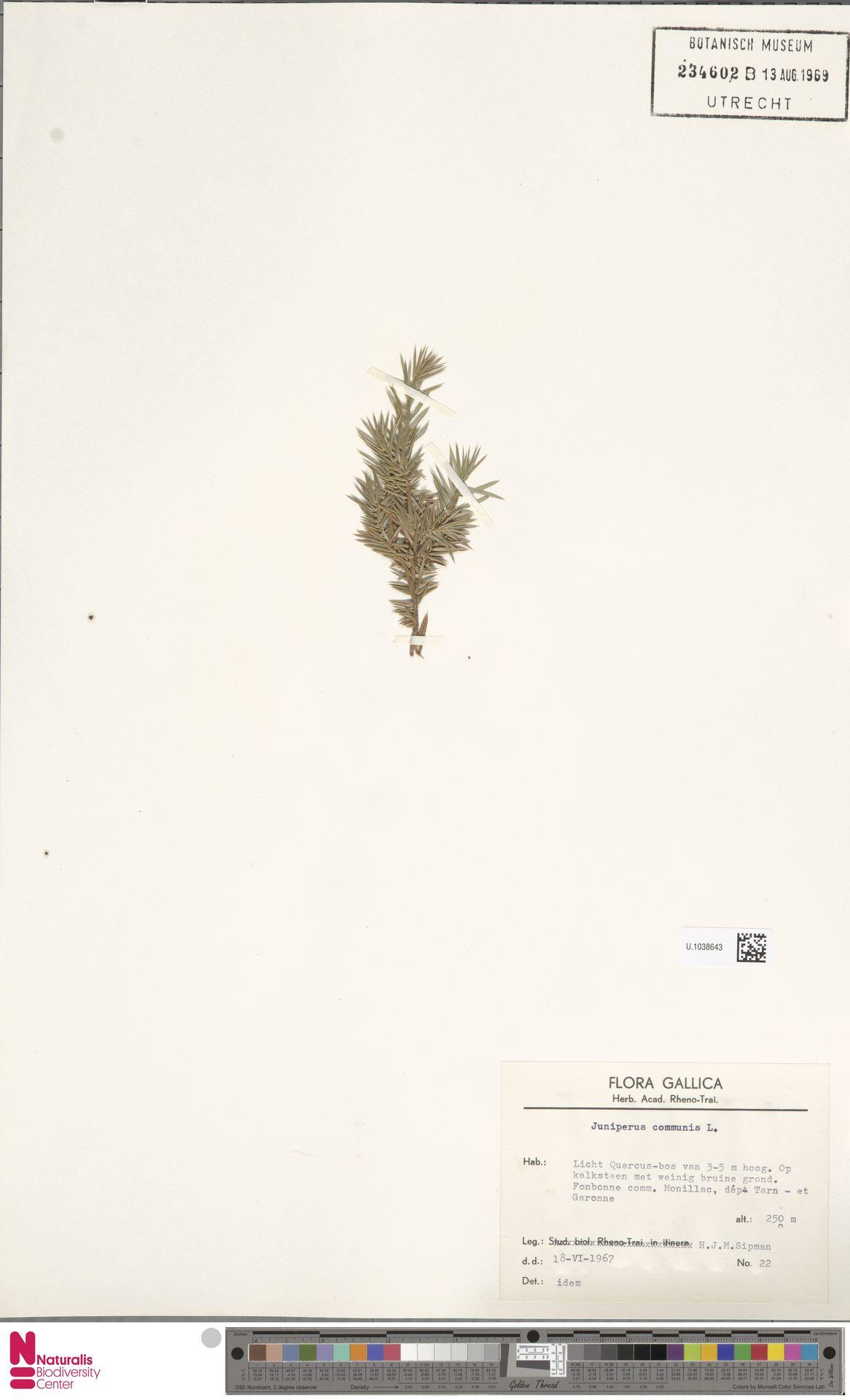 U.1038643 | Juniperus communis L.
