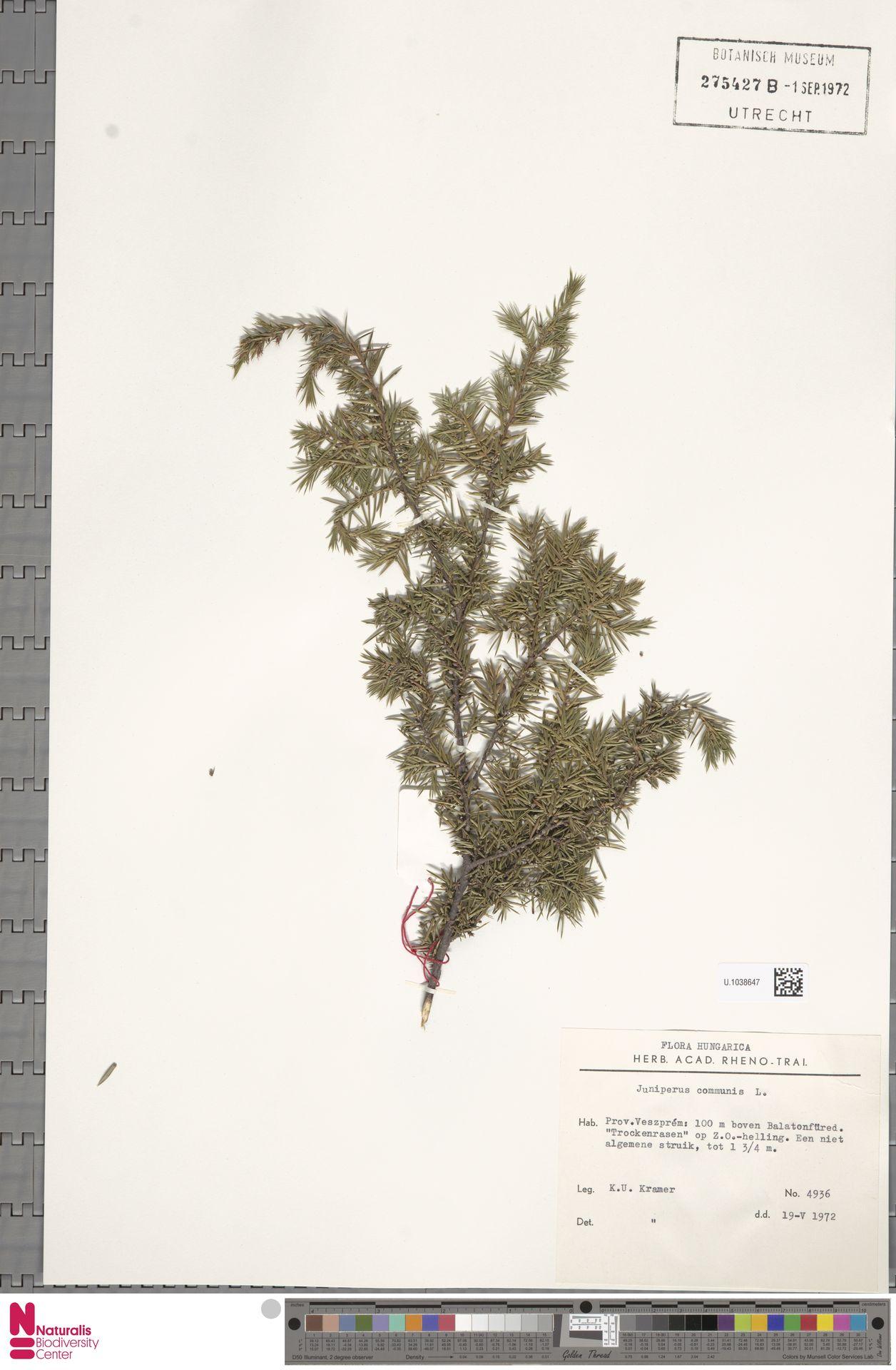 U.1038647 | Juniperus communis L.