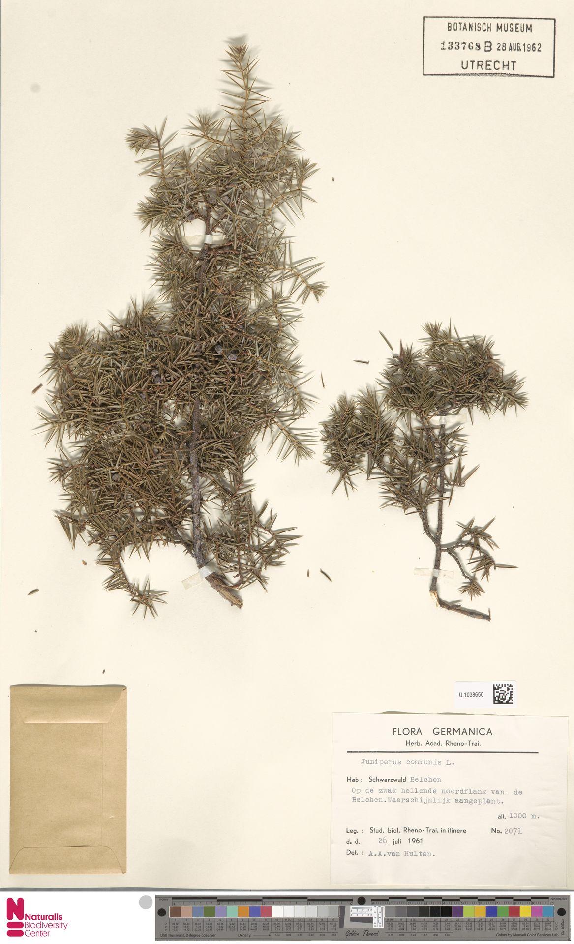 U.1038650 | Juniperus communis L.